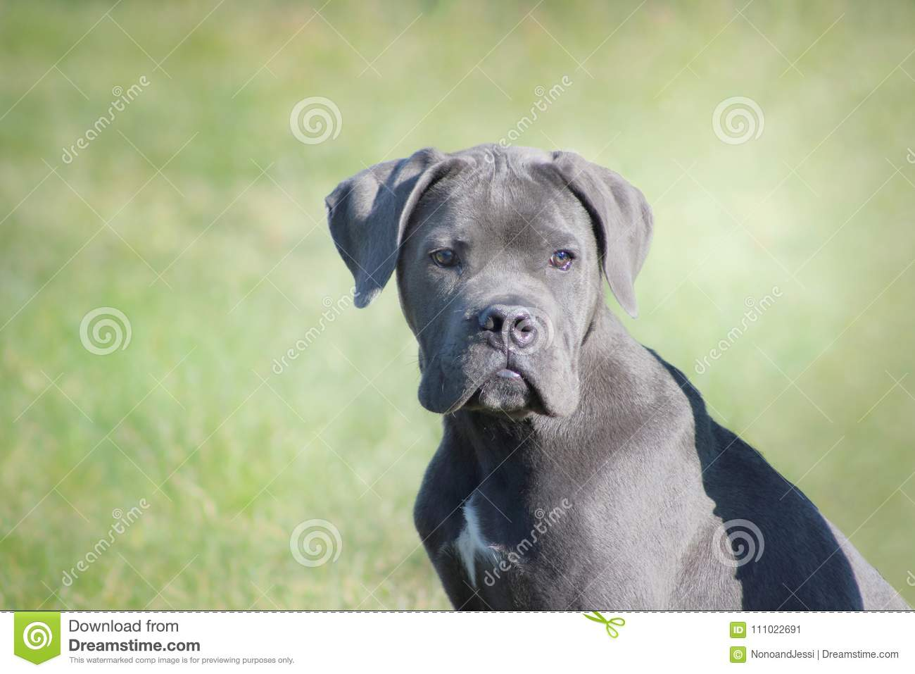 Italian Mastiff Puppy Blue Cane Corso Looking Tender And Attentive