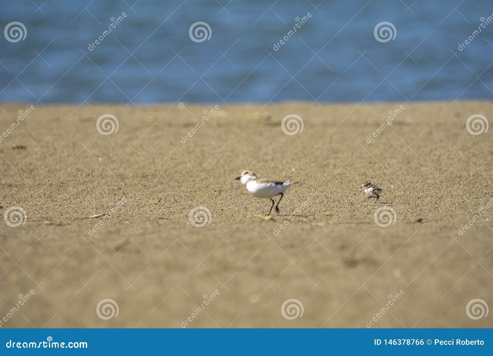 Italien Toskana Maremma, auf dem Strand in Richtung zum Mund von Ombrone, drei-ausgewichener Flussuferl?ufer des Calidris alba, K