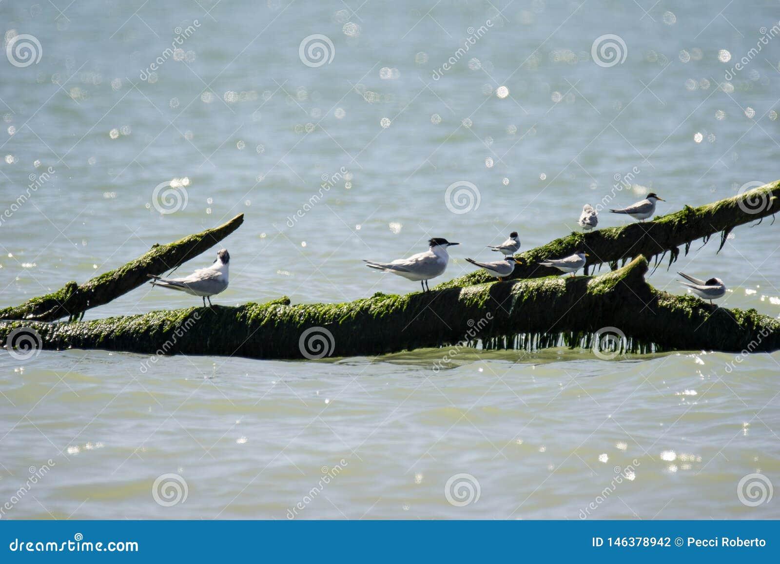 Italien Toskana Maremma, auf dem Strand in Richtung zum Mund von Ombrone, Seev?gel stehen auf einem Baumstamm im Meer still
