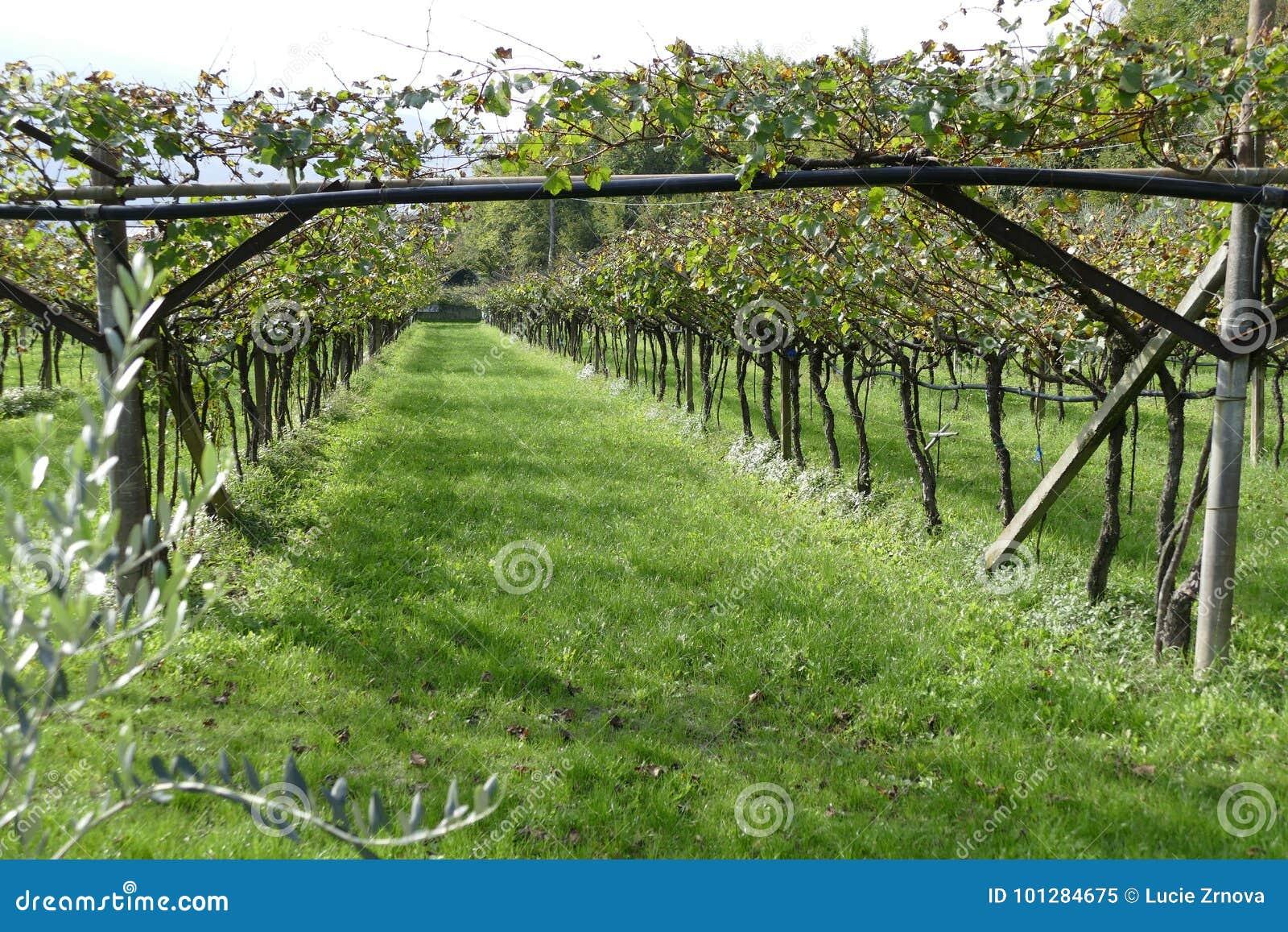 Italienischer Weinberg im Herbst