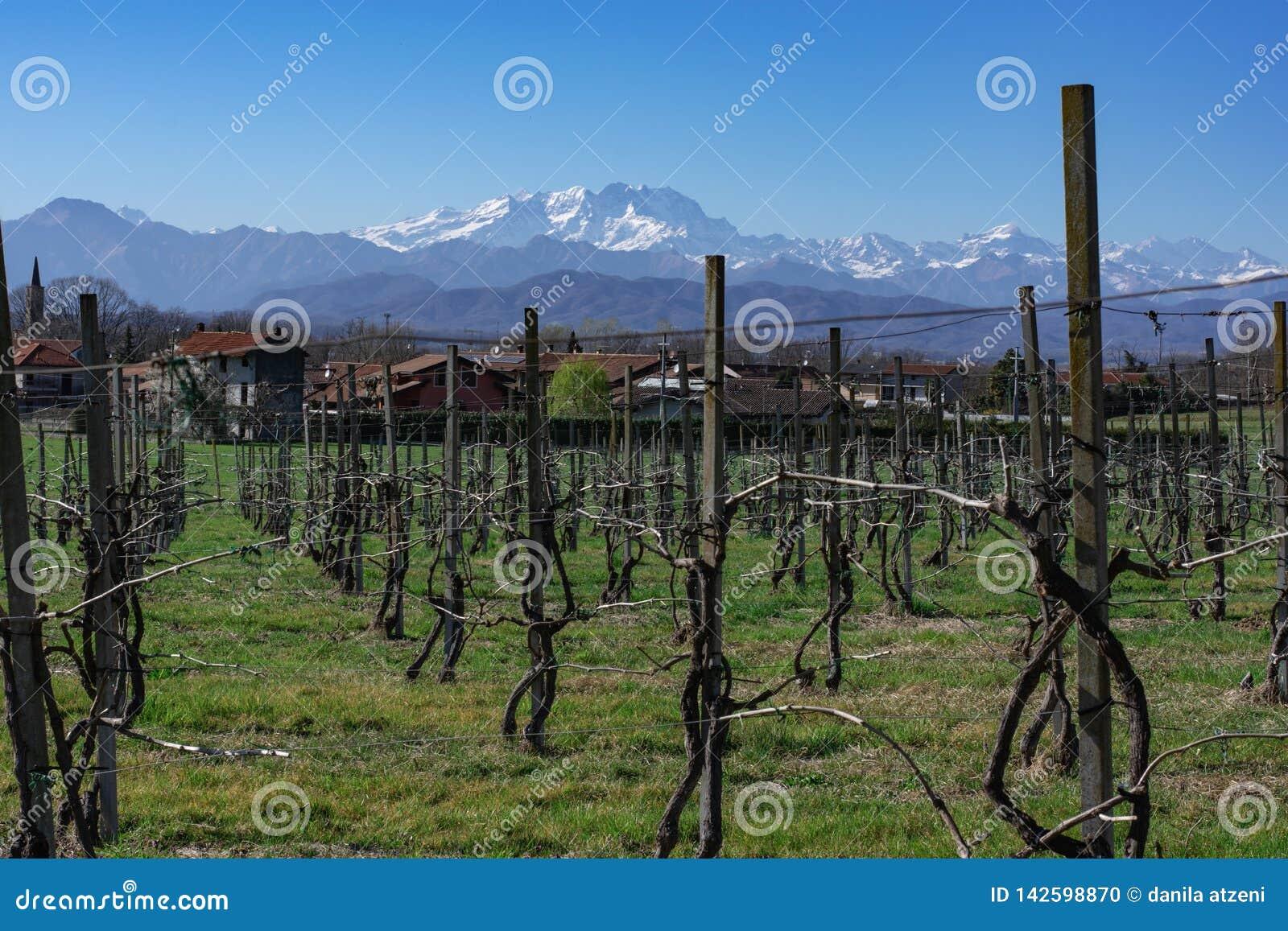 Italienischer Weinberg mit Alpen im Hintergrund