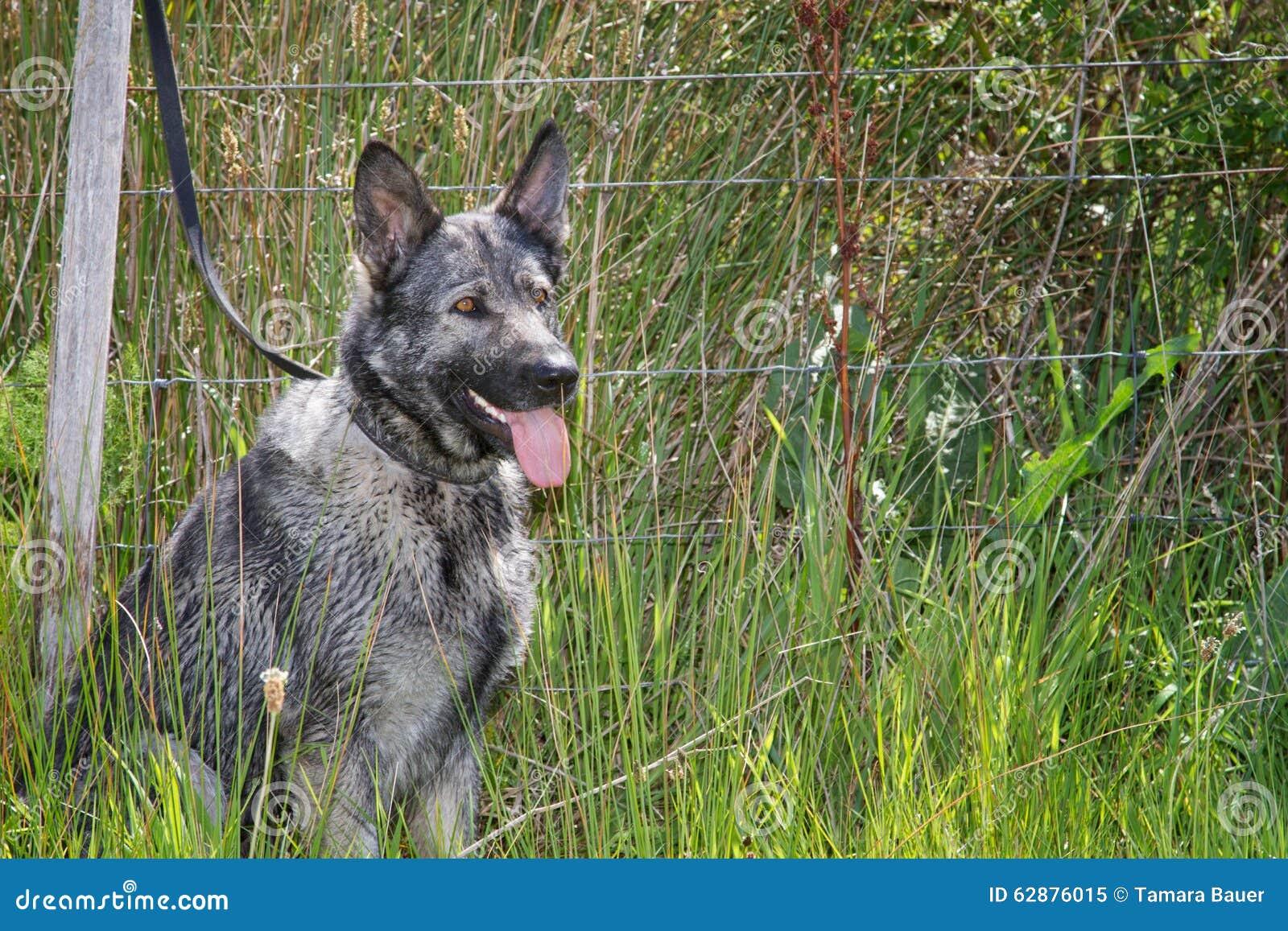 Italienischer Windhund