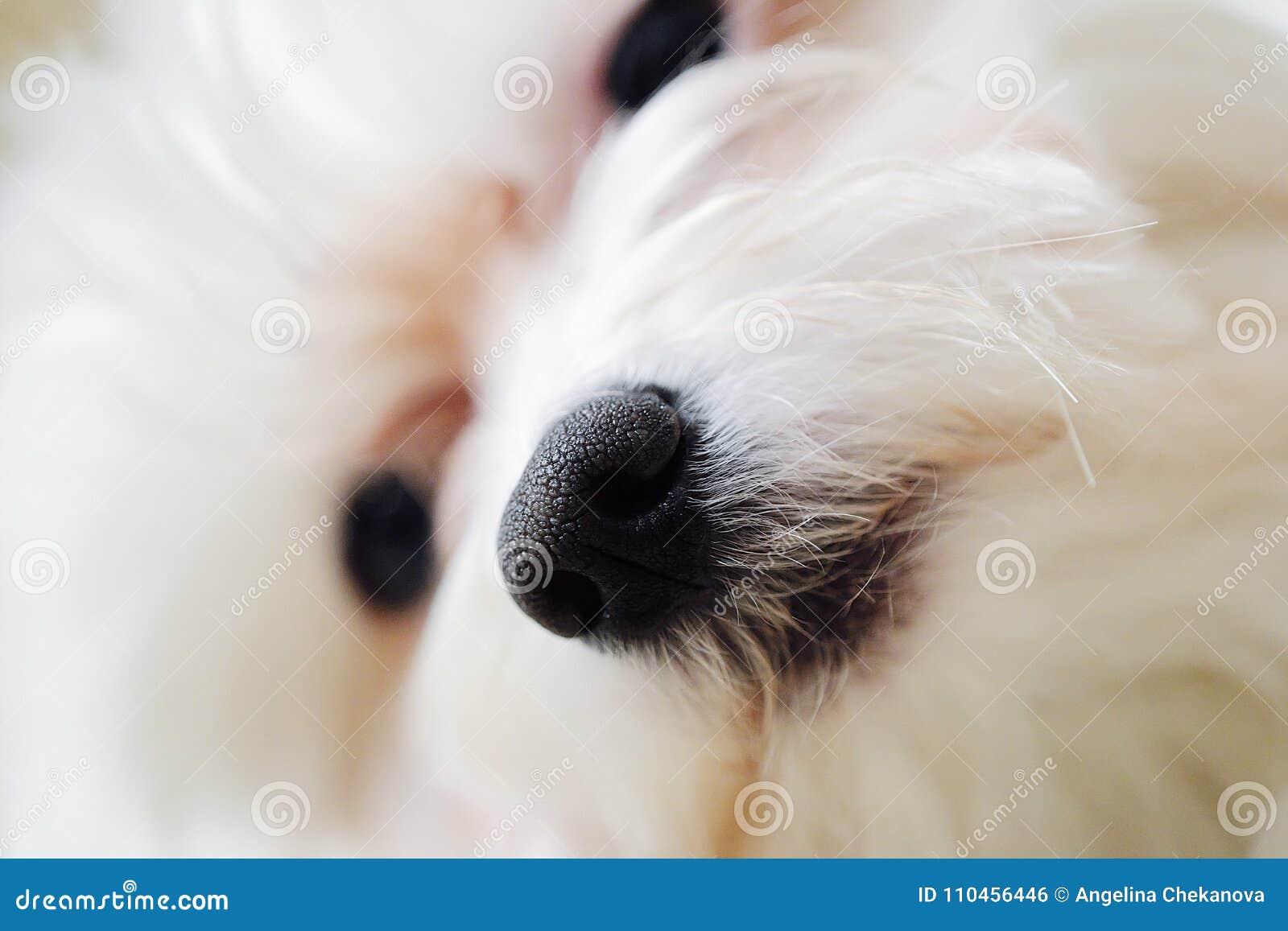 Italienskt övre för näsa och för mun för maltesisk hund nära