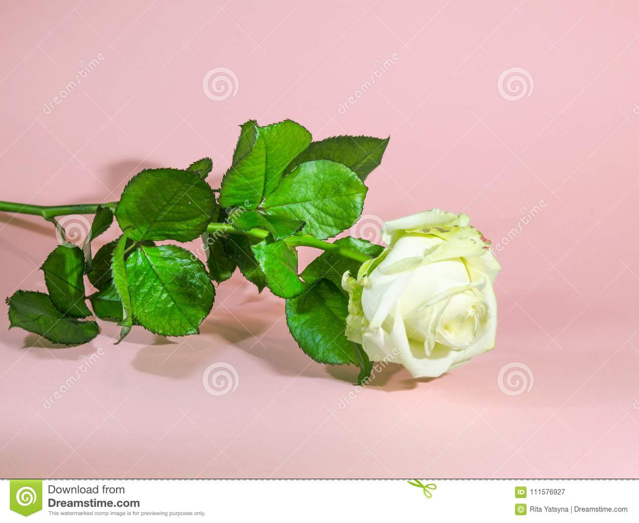 Italy6 March 2018abstract Background Wallpaper Texture White Rose On A Pink