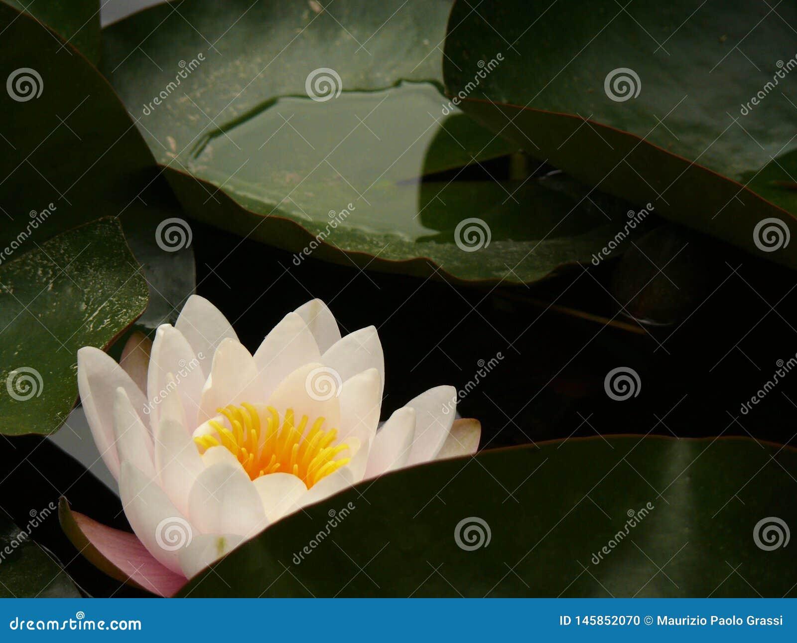 Italy Palermo Sicily Wodnej lelui kwiat w botanicznym Garde