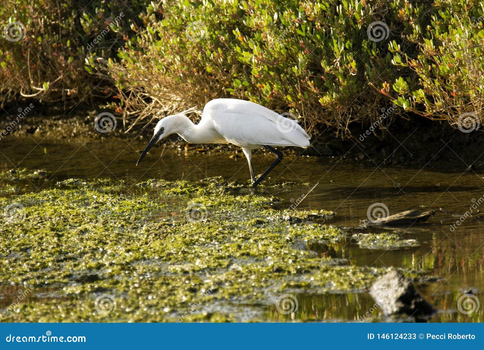 Italy Tuscany Maremma Castiglione della Pescaia Grosseto, natural reserve of Diaccia Botrona, heron hunting in a canal