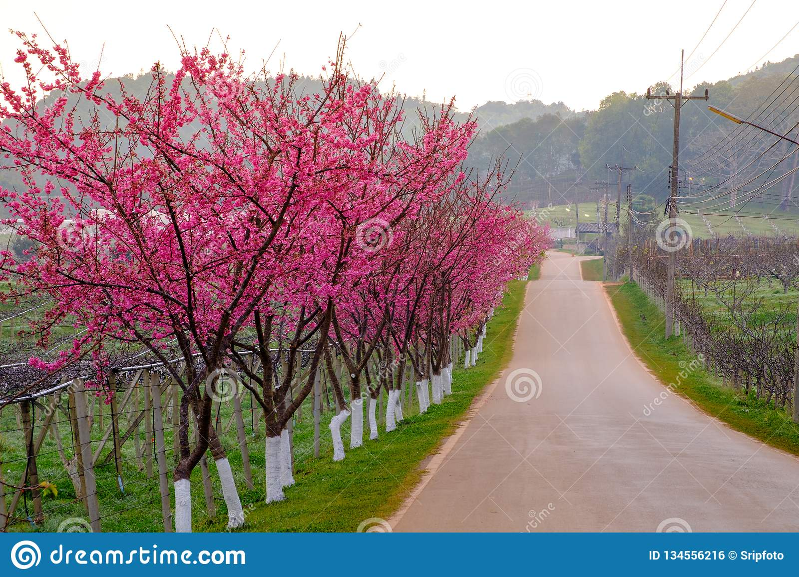Itinerario rosa derivato dal bello di Sakura, Cherry Blossoms nella stazione agricola reale Angkhang della montagna del angkhang