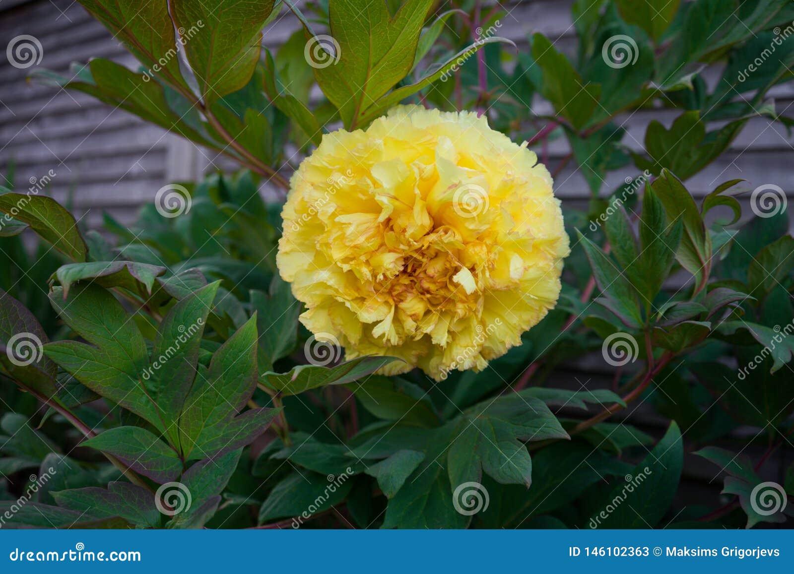 Itoh Hybrid Peony Yellow Bartzella in garden