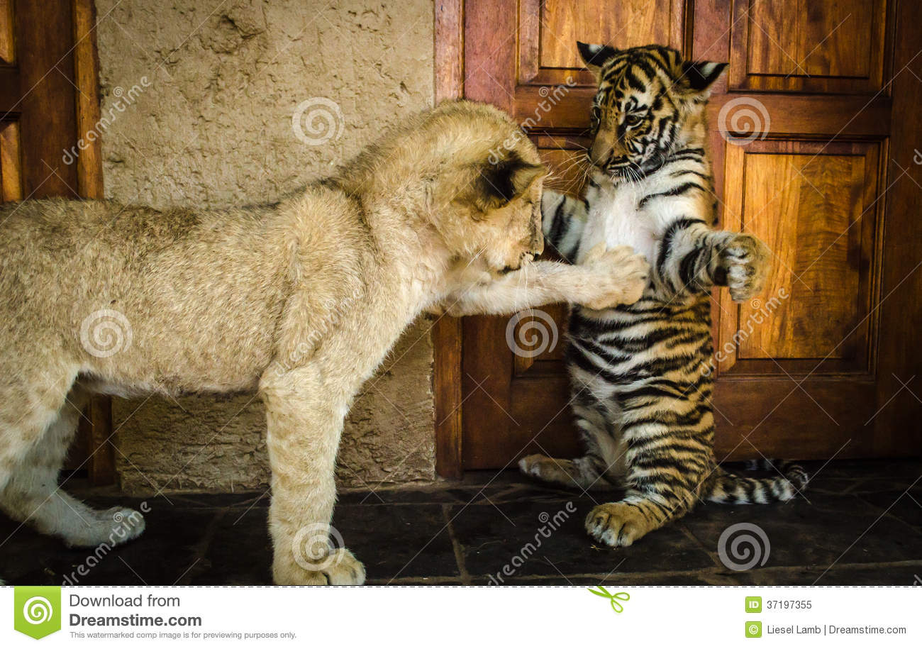 Baby lions and tigers