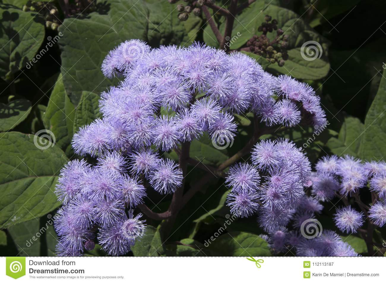 Mexican blue mist flower cluster stock image image of bloom mexican blue mist flower cluster izmirmasajfo