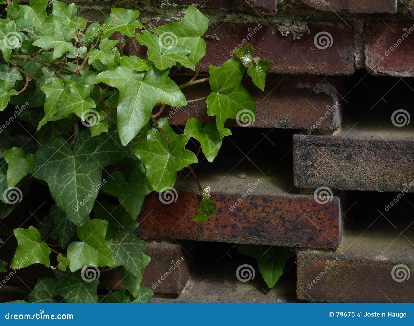 Ivy ściany