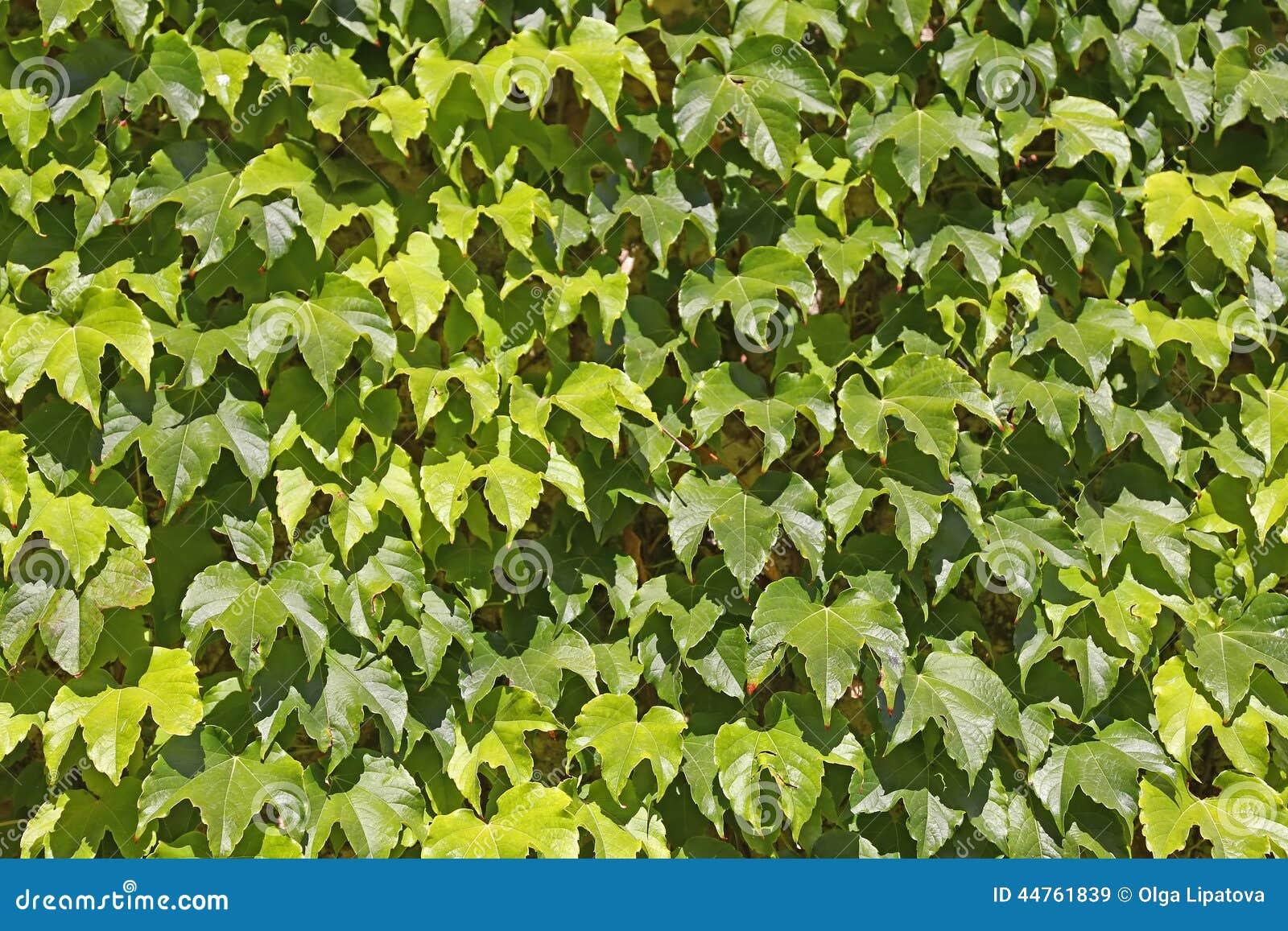 ivy background stock photo image 44761839