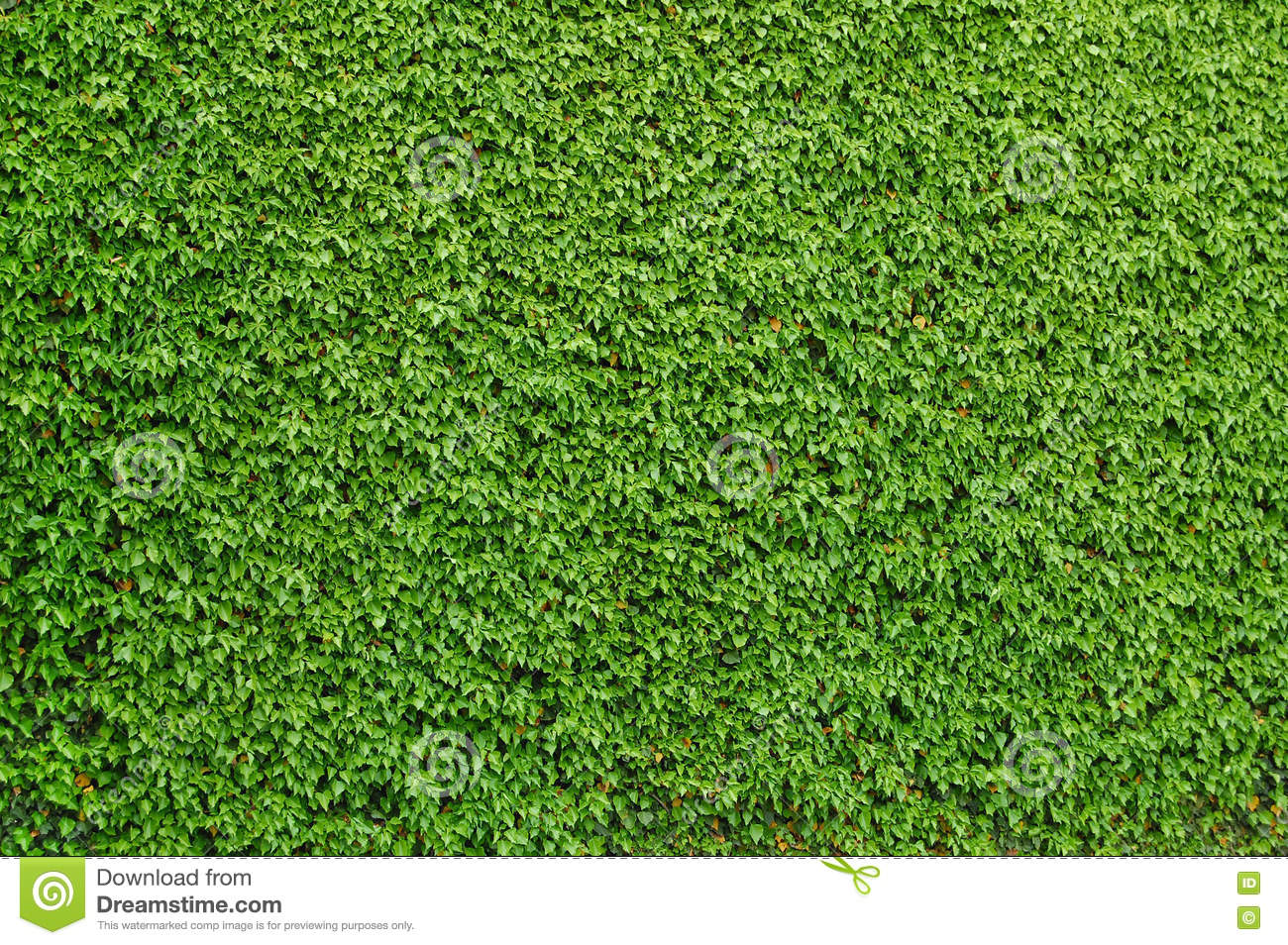 Ivy Covered A Brick Wall Stock Photo Image 71770176