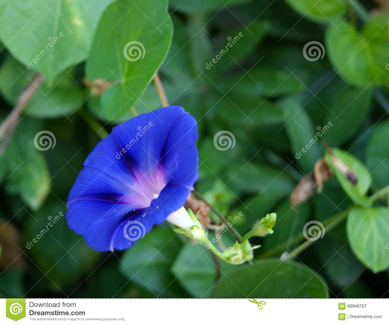 Ivy flower stock image image of indigo deep plant 98948767 blue ivy flower closeup gainst the background of dark green foliage izmirmasajfo