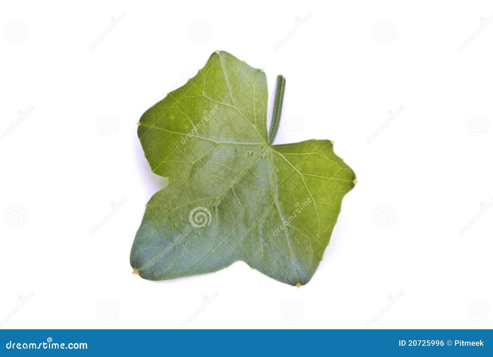 A Ivy Gourd Vegetable Leaf Royalty Free Stock Image - Image: 20725996