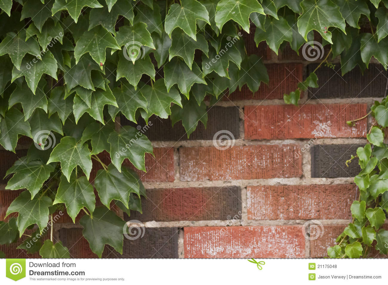 Ivy Growing On A Wall Pictures To Pin On Pinterest Pinsdaddy