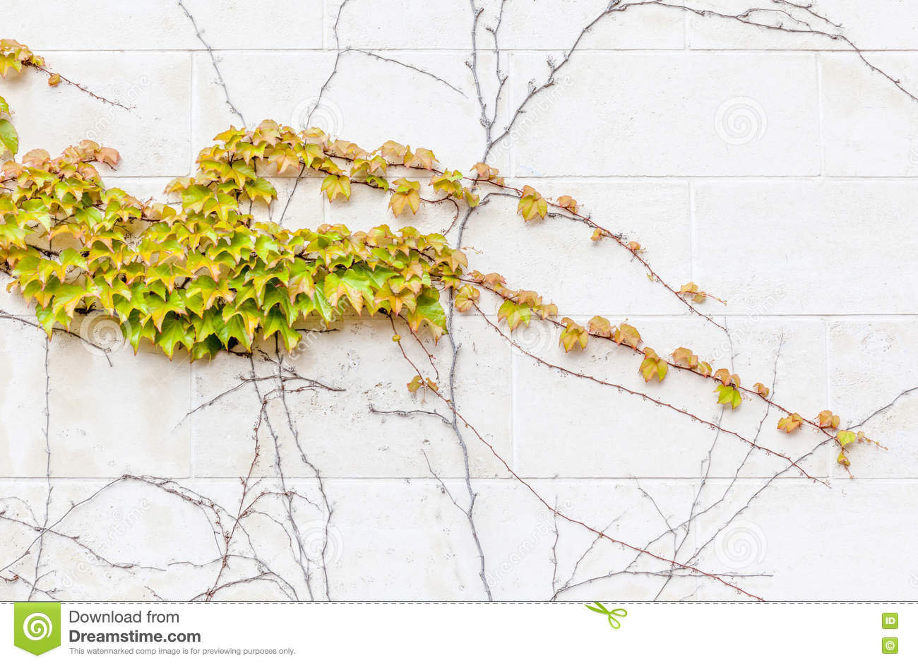 Ivy Growing On The Concrete Wall, Exterior Decoration. Stock Photo ...