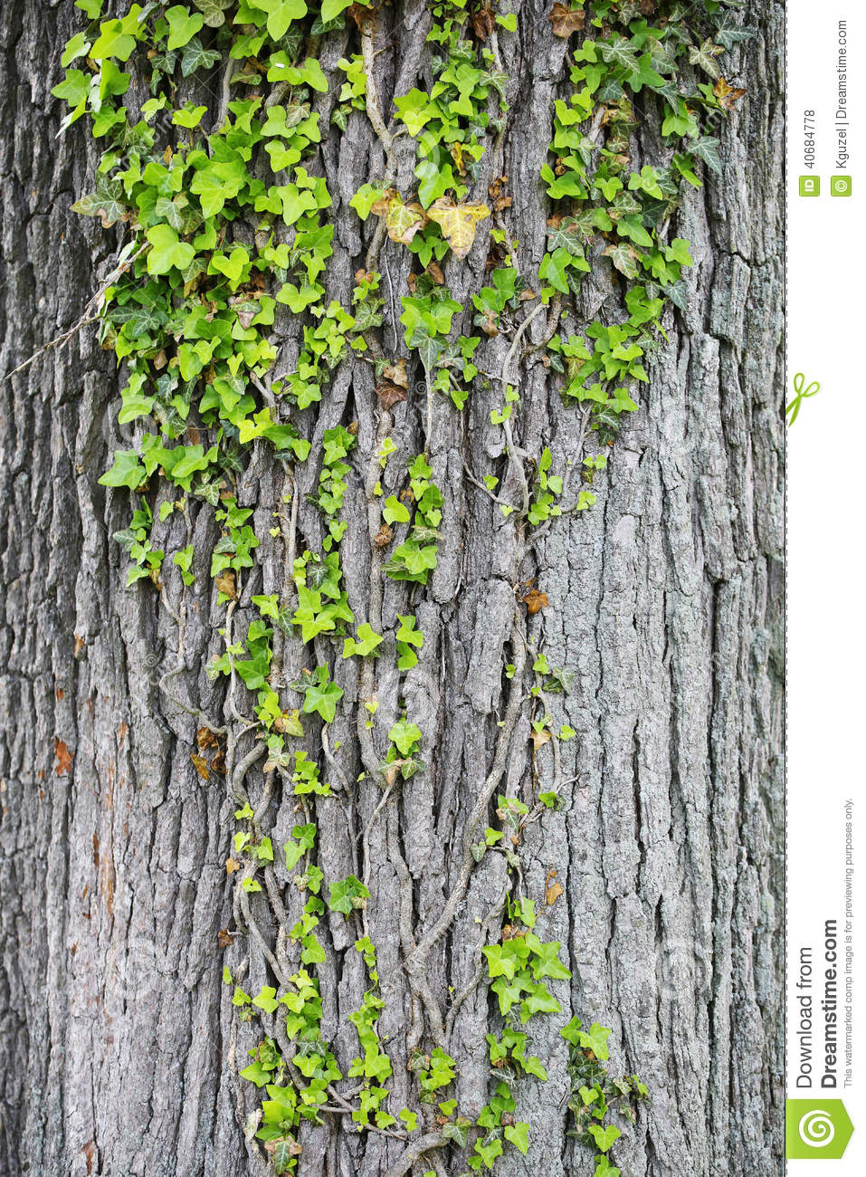 Does it harm trees for ivy to grow?
