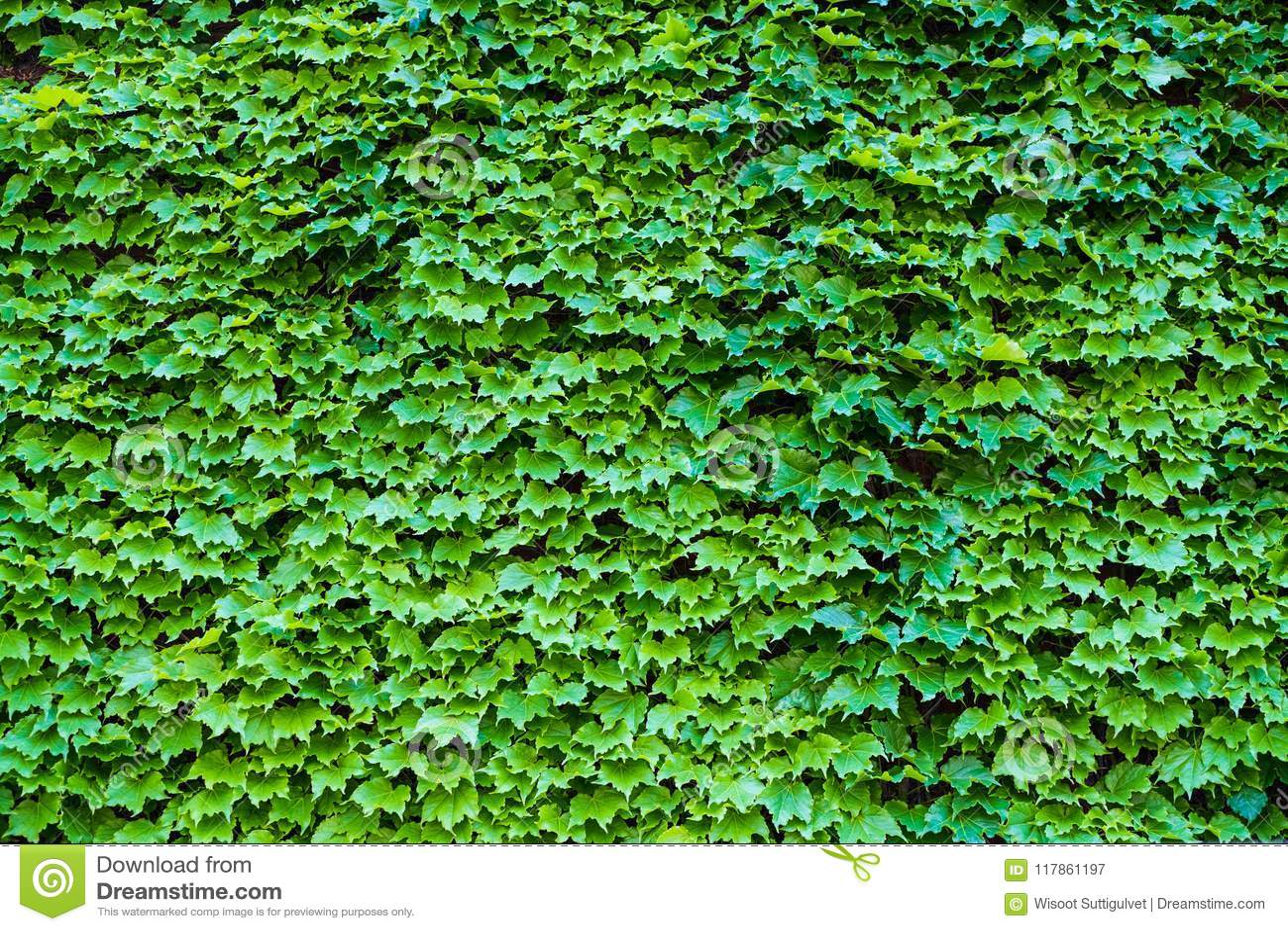 Ivy Hedera Vägg som täckas med lövverk grönt naturligt för bakgrund