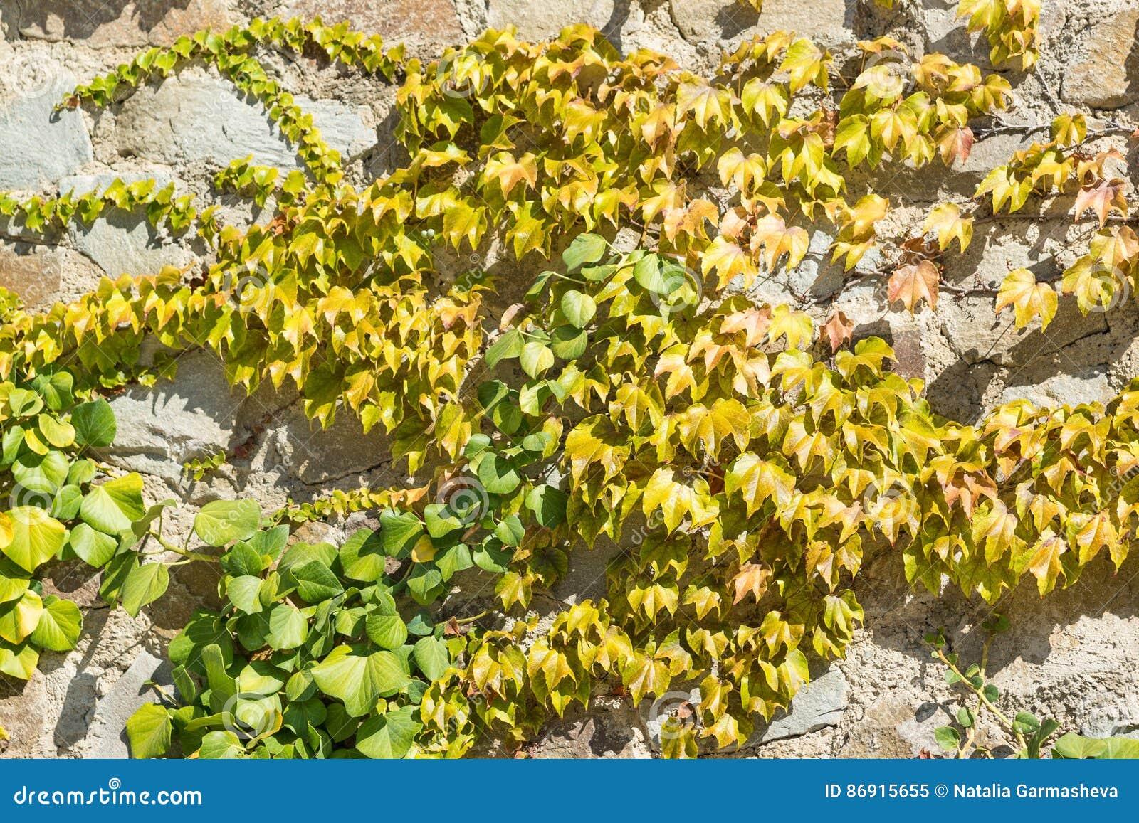 Ivy Lat. Hedera And Virginia Creeper Parthenocissus Quinquefolia On ...