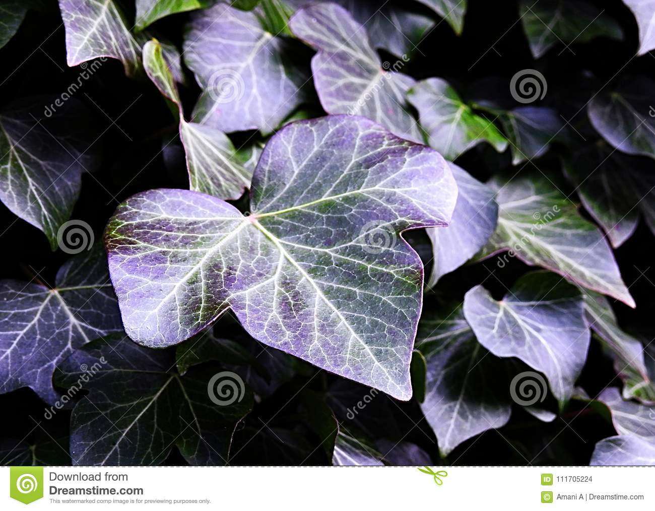Ivy Leaves With Natural Purple Hues