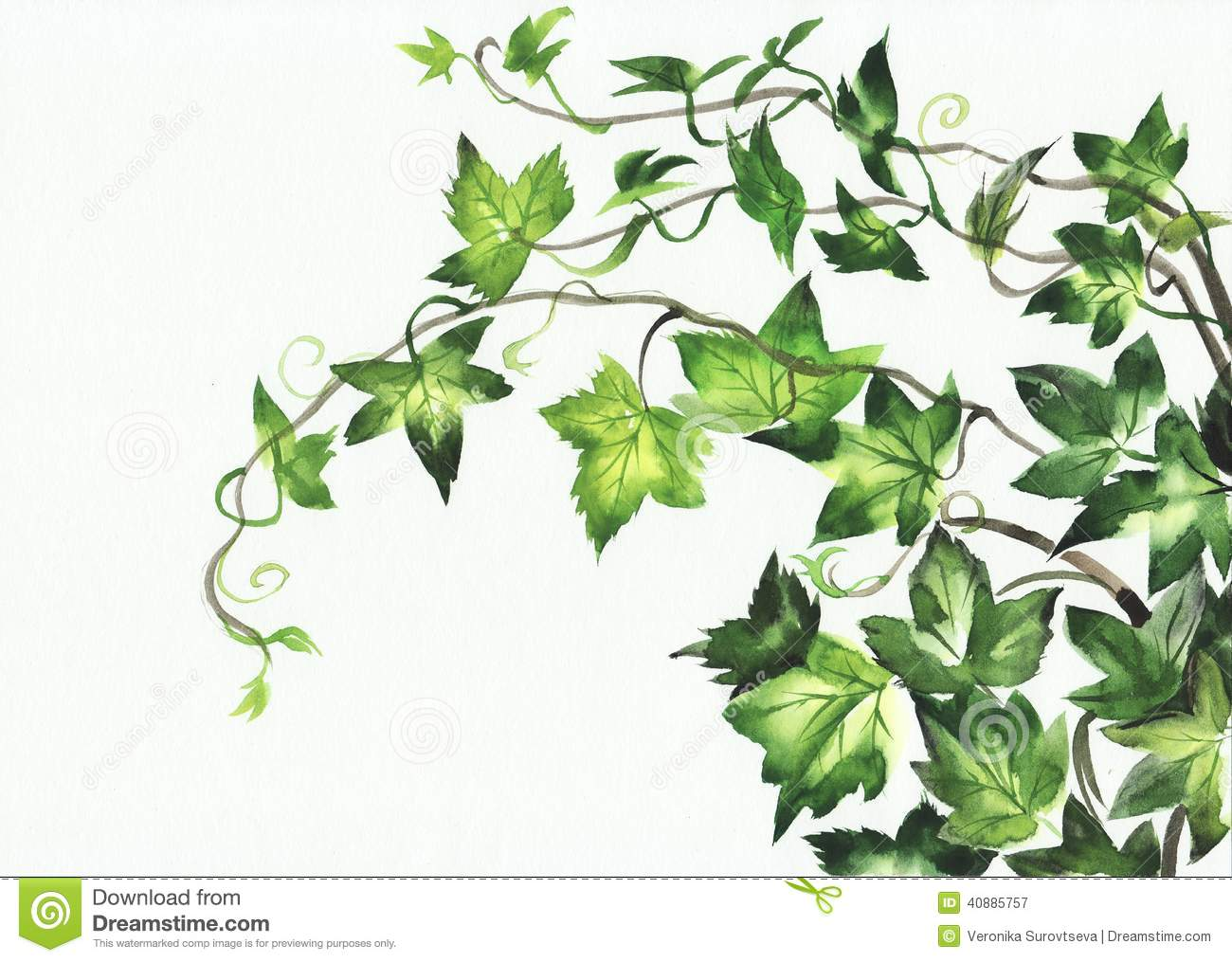 Watercolor painting of young ivy branches isolated on white.