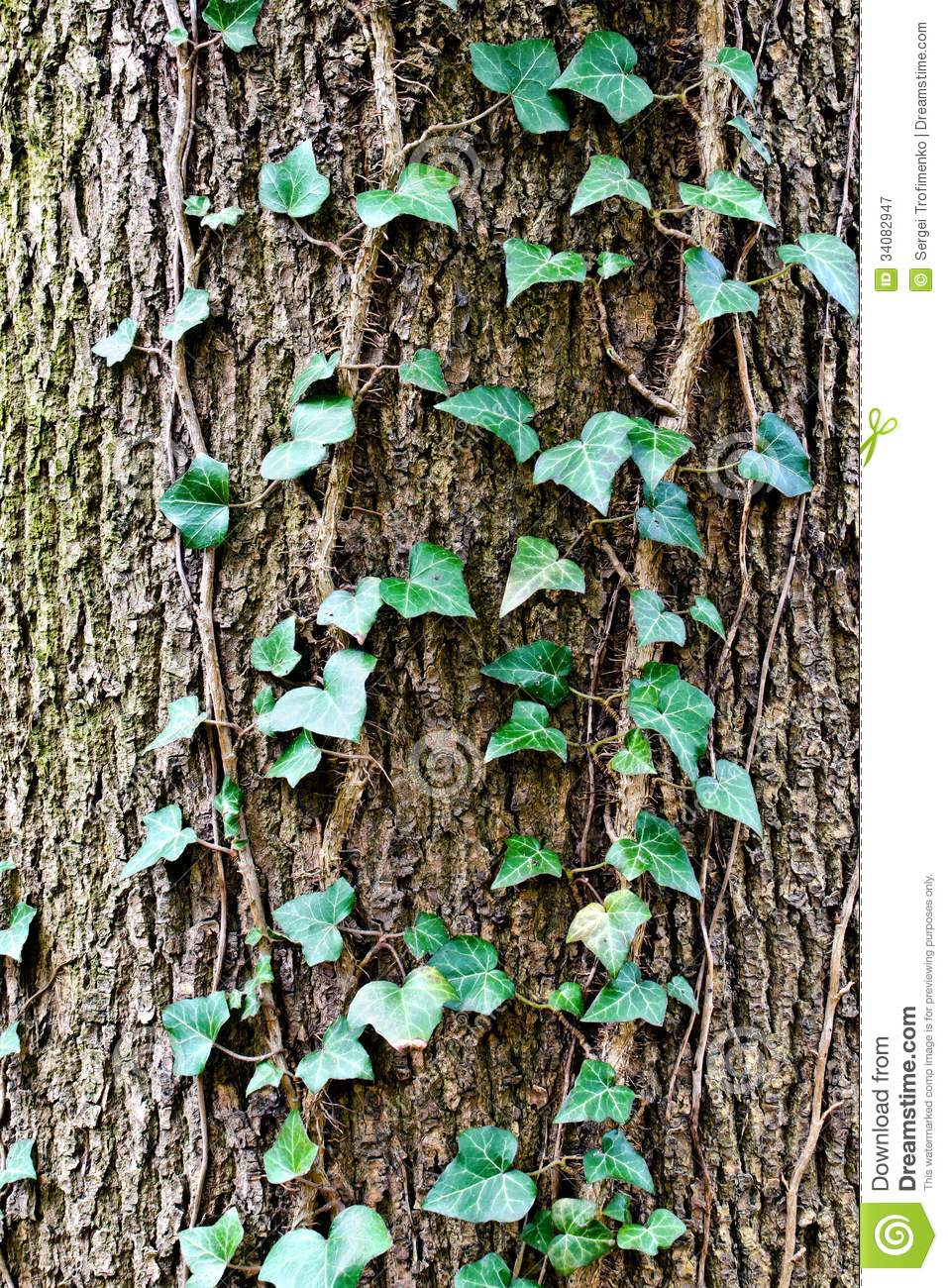 Ivy Ordinary Or Ivy Climbing (lat  Hedera Helix) To The Trunk Of The