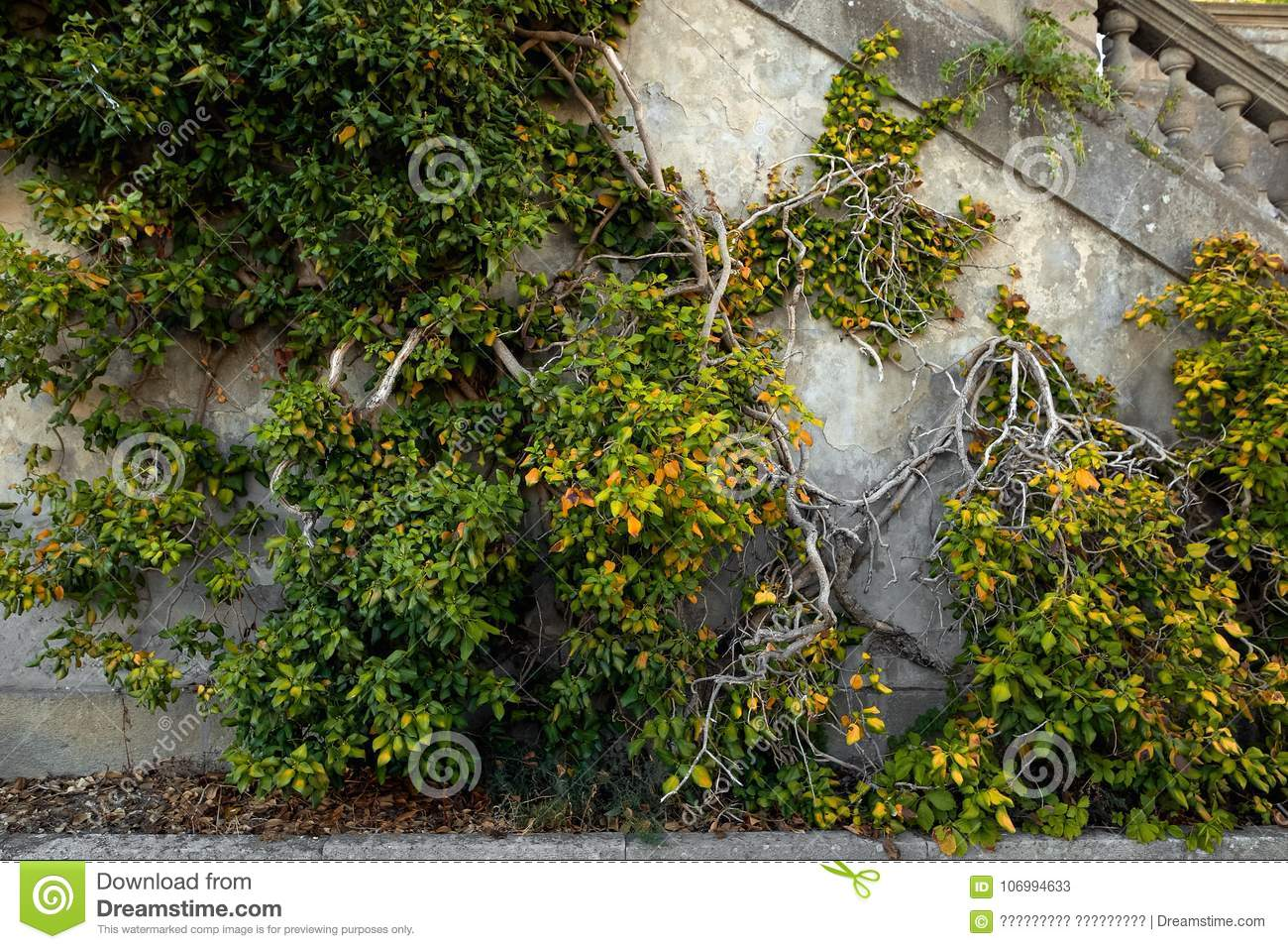 Ivy Texture Ivy Hedge Background Ivyberry Backdrop Ivy