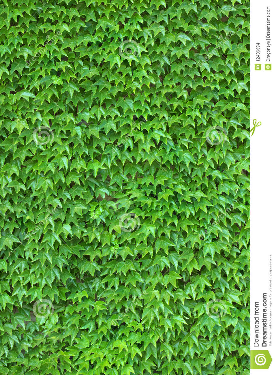 Ivy Wall Vertical Stock Images Image 12486394