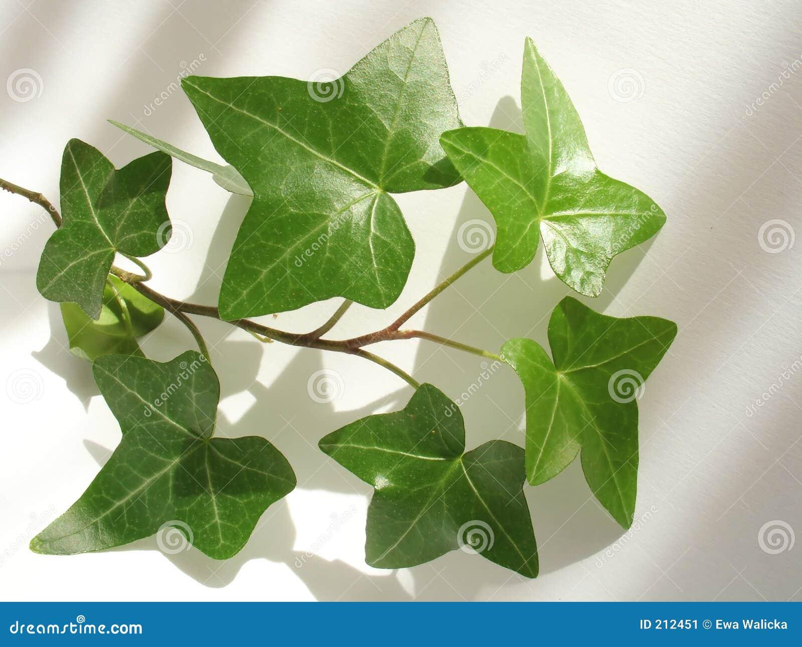 Ivy zielone