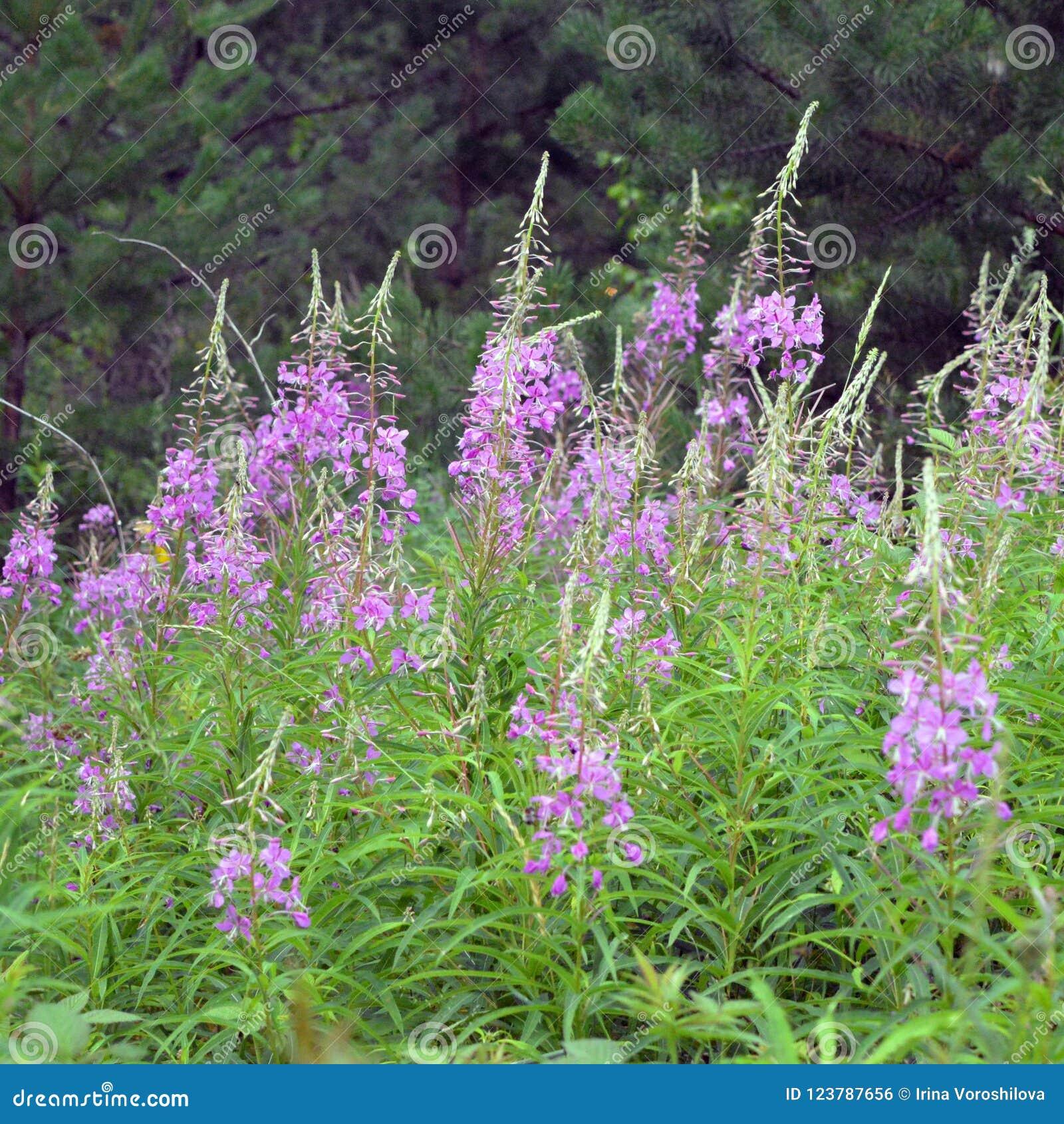 Iwan-Teeblumen auf dem Gebiet Wilde Heilpflanzen