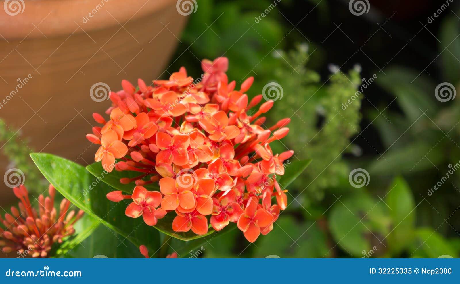 Download Ixora imagem de stock. Imagem de seasonal, flor, vermelho - 32225335