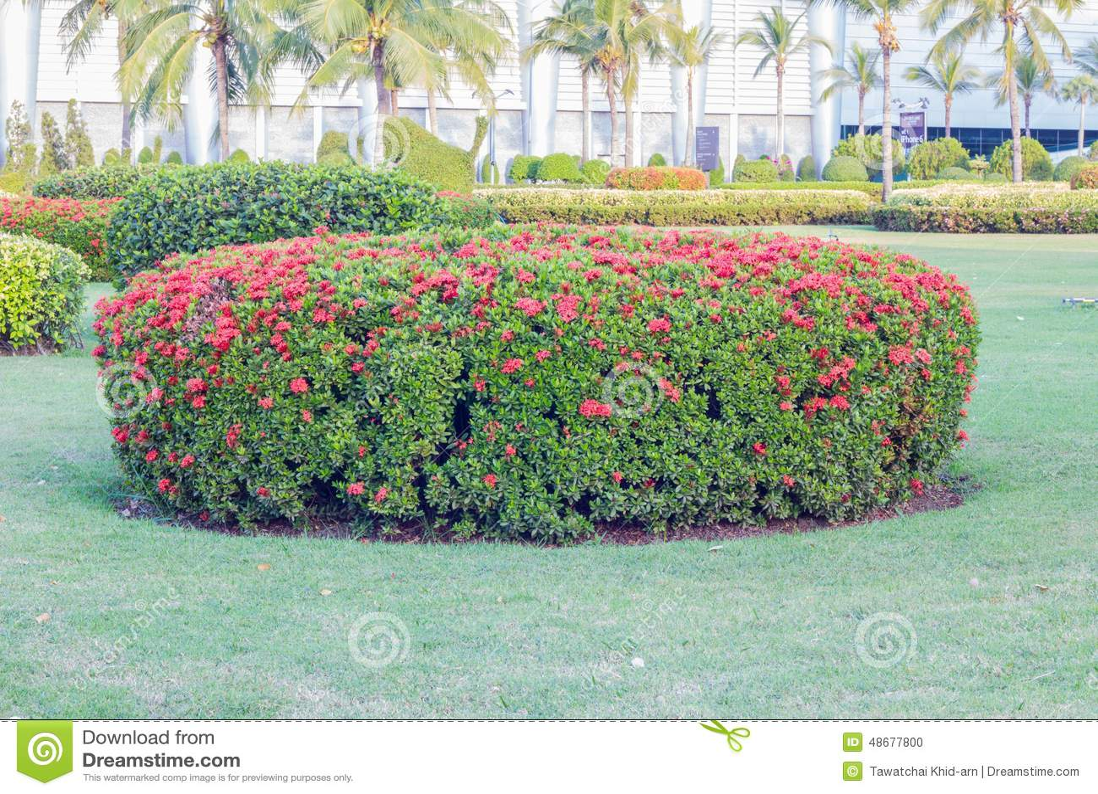 Favoritos Ixora Arbusto E Fundo Verde Bonito Do Jardim, Com Luz Do Sol Foto  ML66