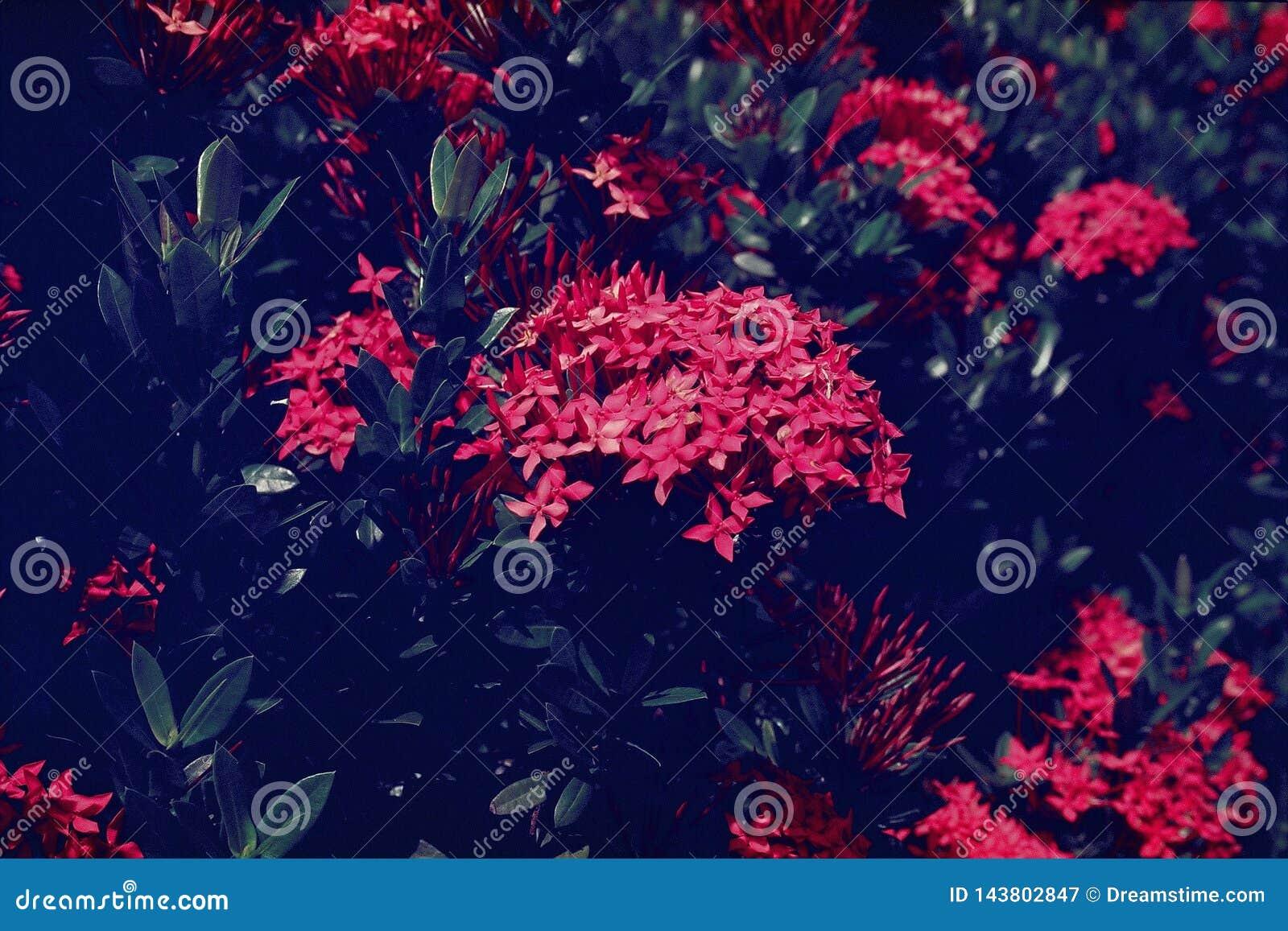 Ixora chinensis chińczyk Ixora