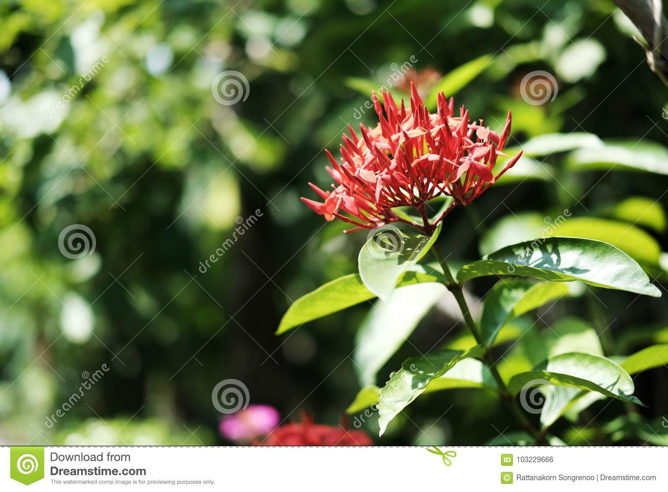 Ixora chinensis lamk or red west indian jasmine flower stock photo ixora chinensis lamk or red west indian jasmine flower izmirmasajfo