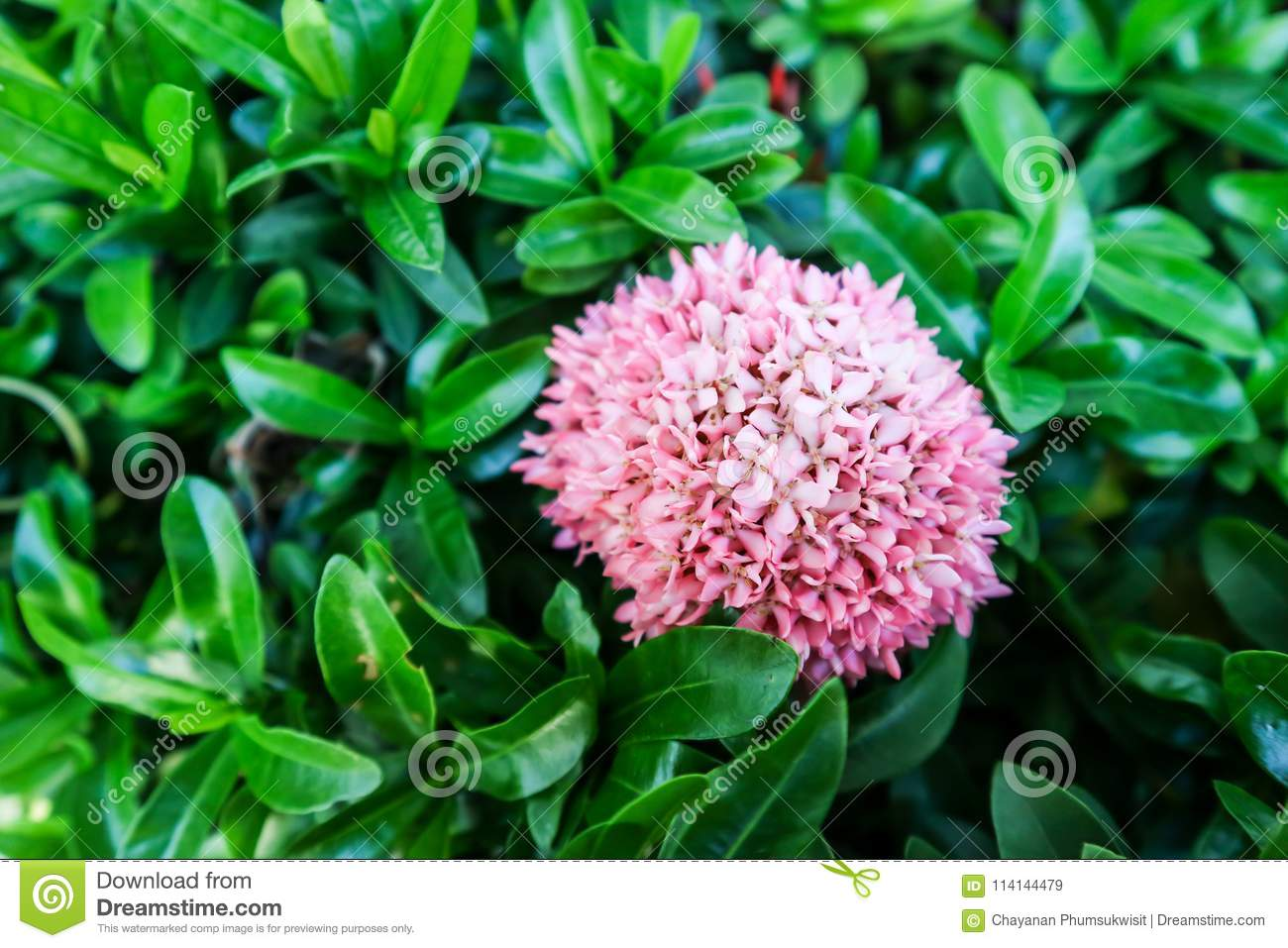 Ixora Pink Flower Boutique Bloom In The Garden Stock Image Image