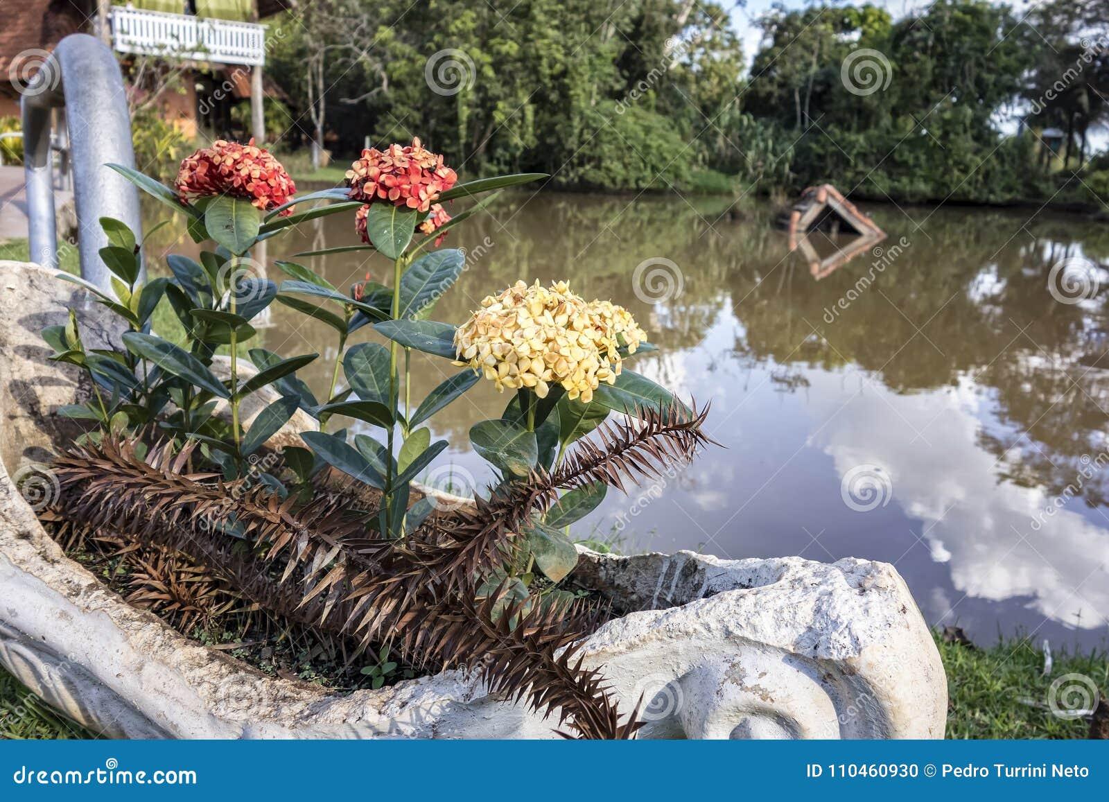 Ixora vasdetalj i solig dag med sjön i bakgrund