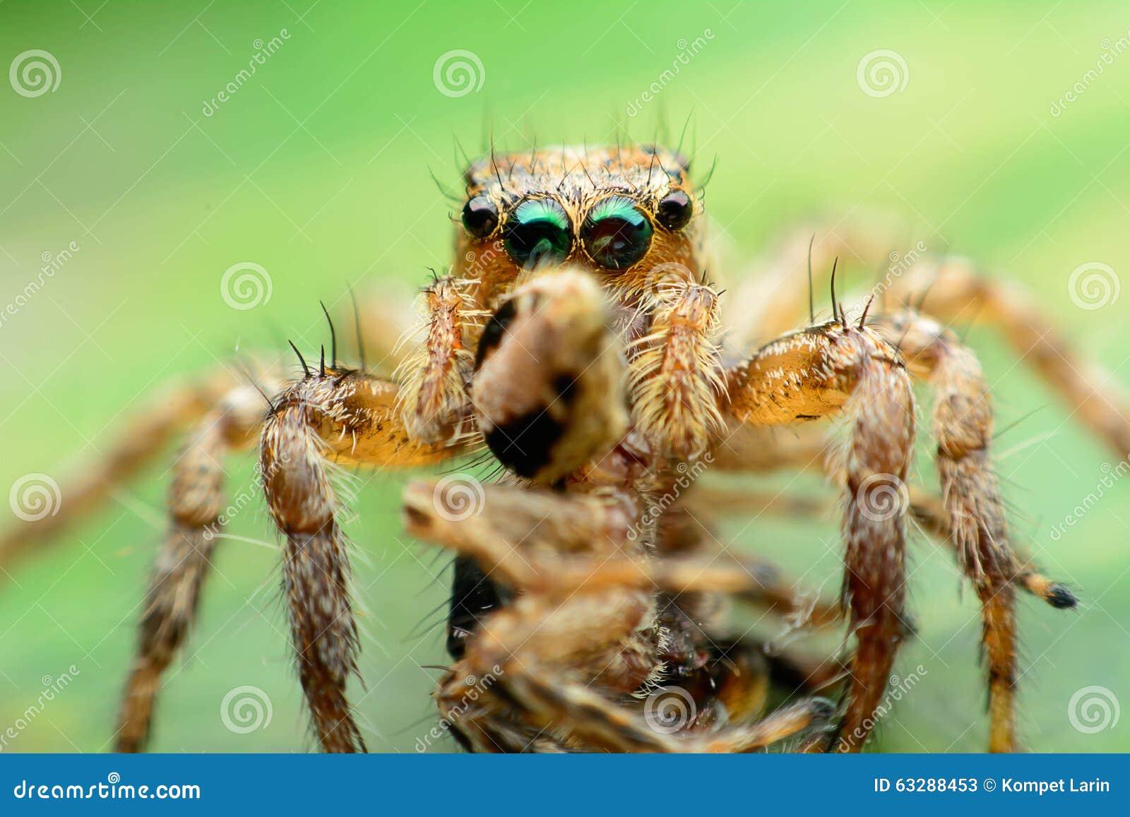 Jägare/jagat hoppa spindeln