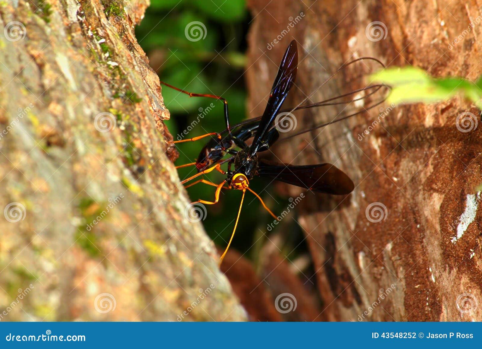 Jätte- Ichneumon Wasp (den Megarhyssa atrataen)