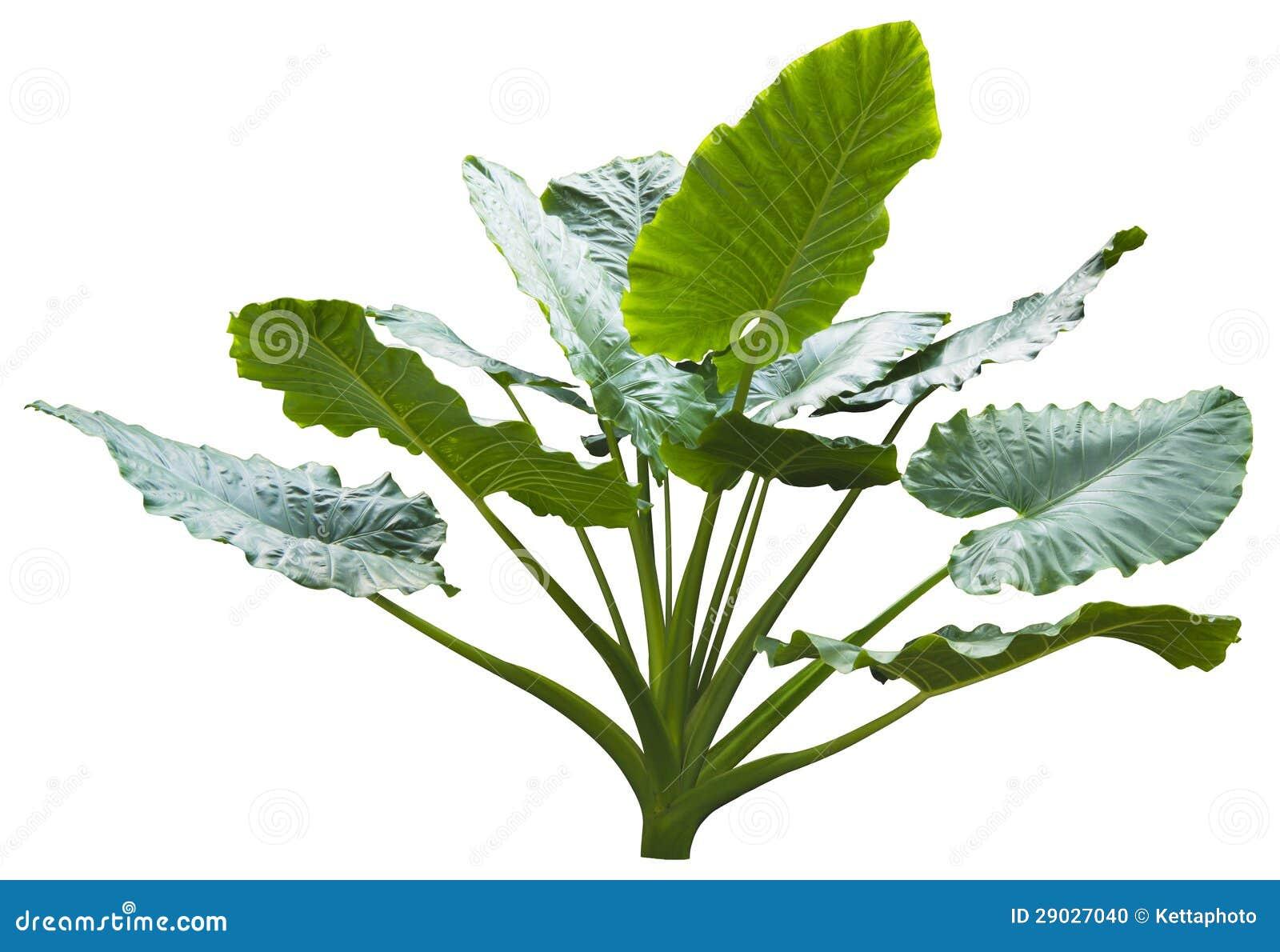 Jätte- leaf