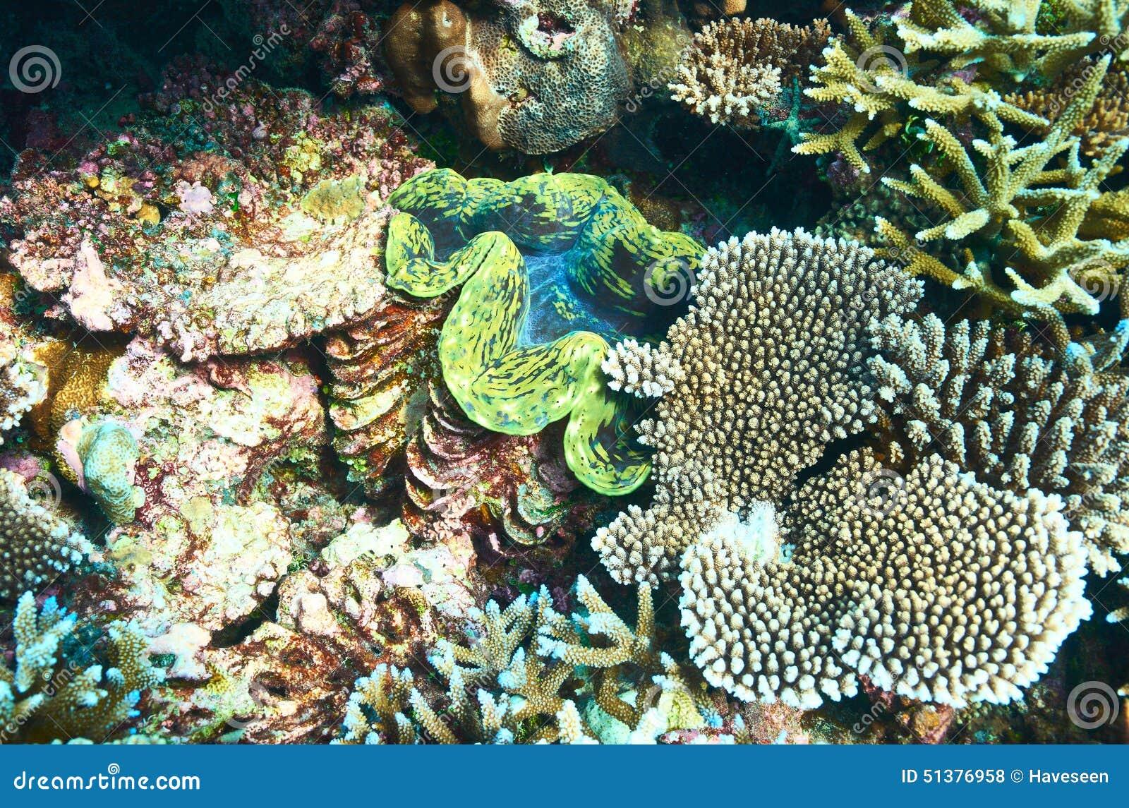 Jätte- mussla på den tropiska korallreven