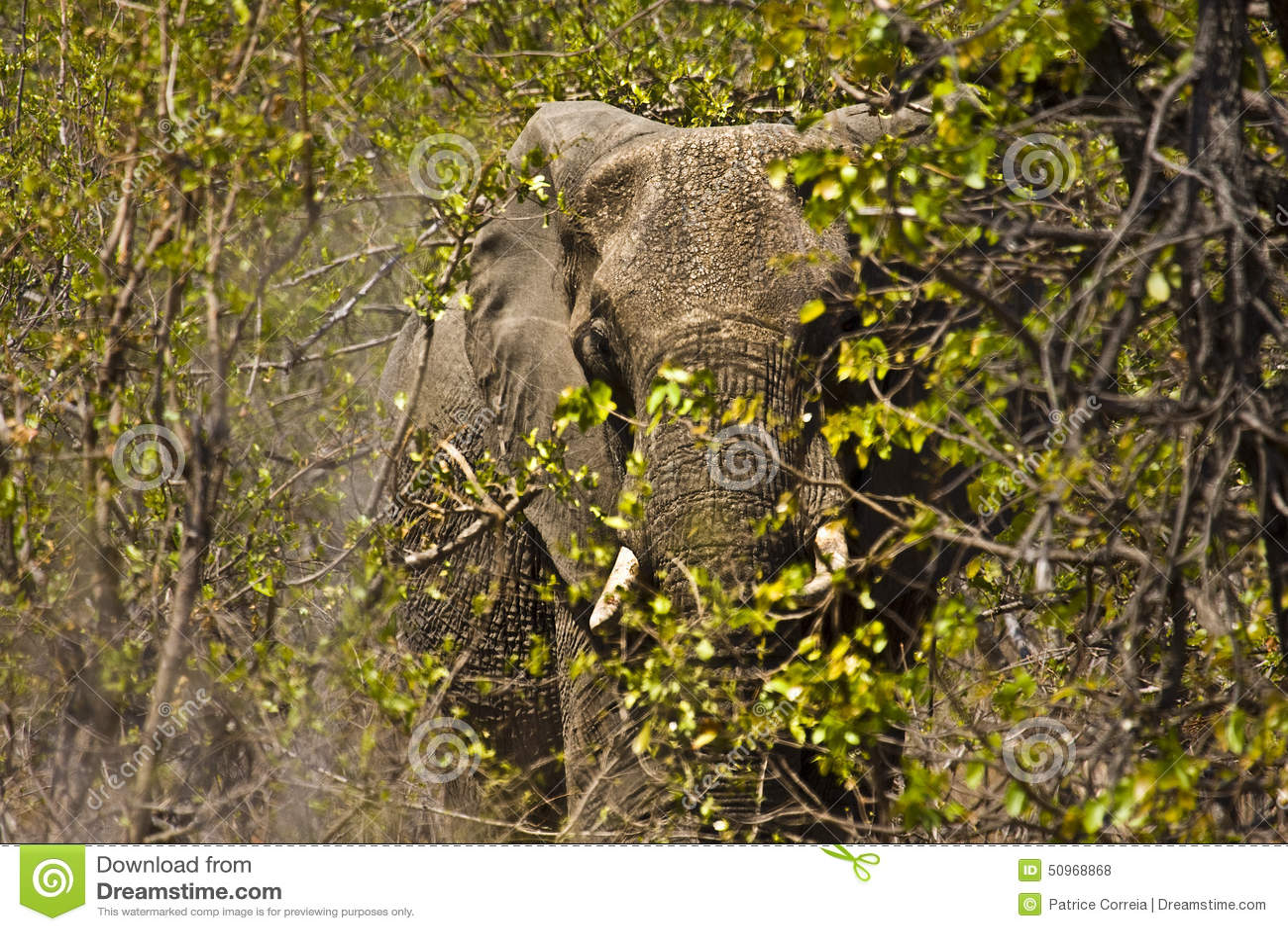 Jättelik afrikansk elefant i busken, Kruger nationalpark, Sydafrika