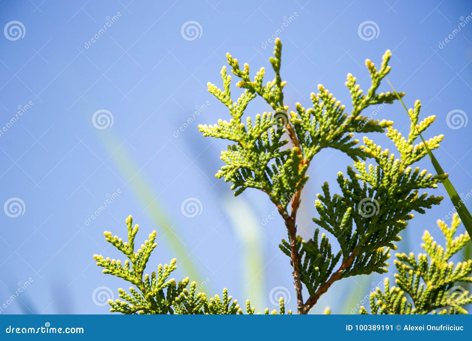 Jóvenes del pino del abeto del árbol de navidad