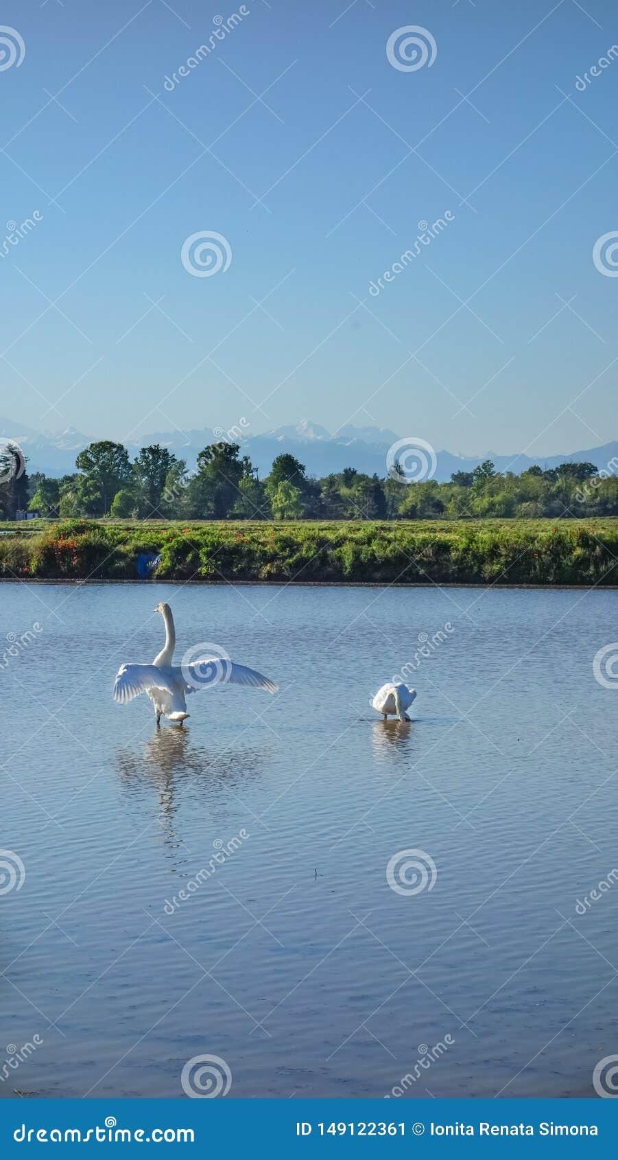 J?ntese de los cisnes que disfrutan de tiempo en un campo del arroz
