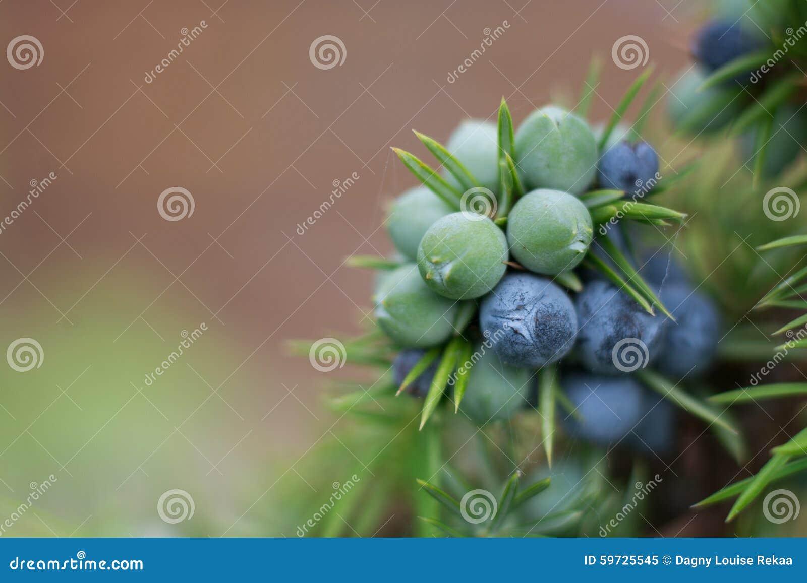 Jałowcowe jagody na krzaku