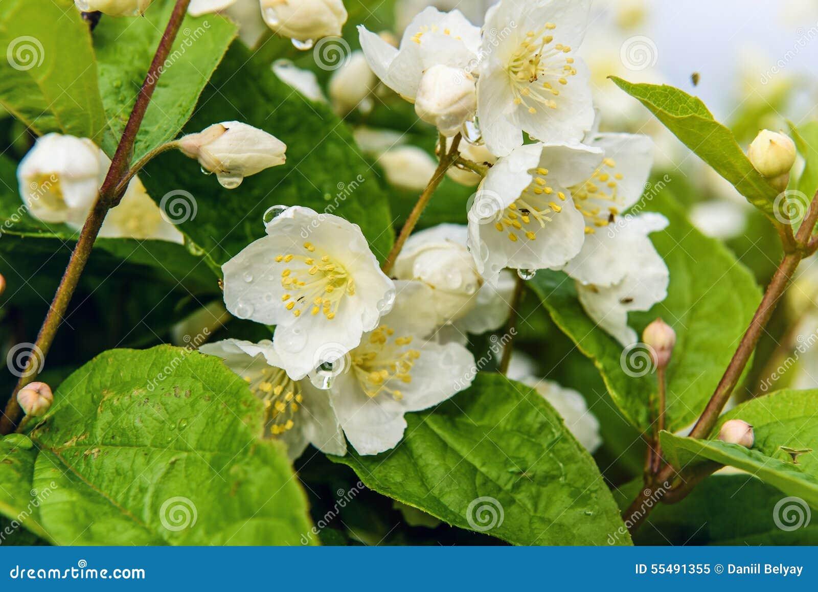Jaśminowy kwiat