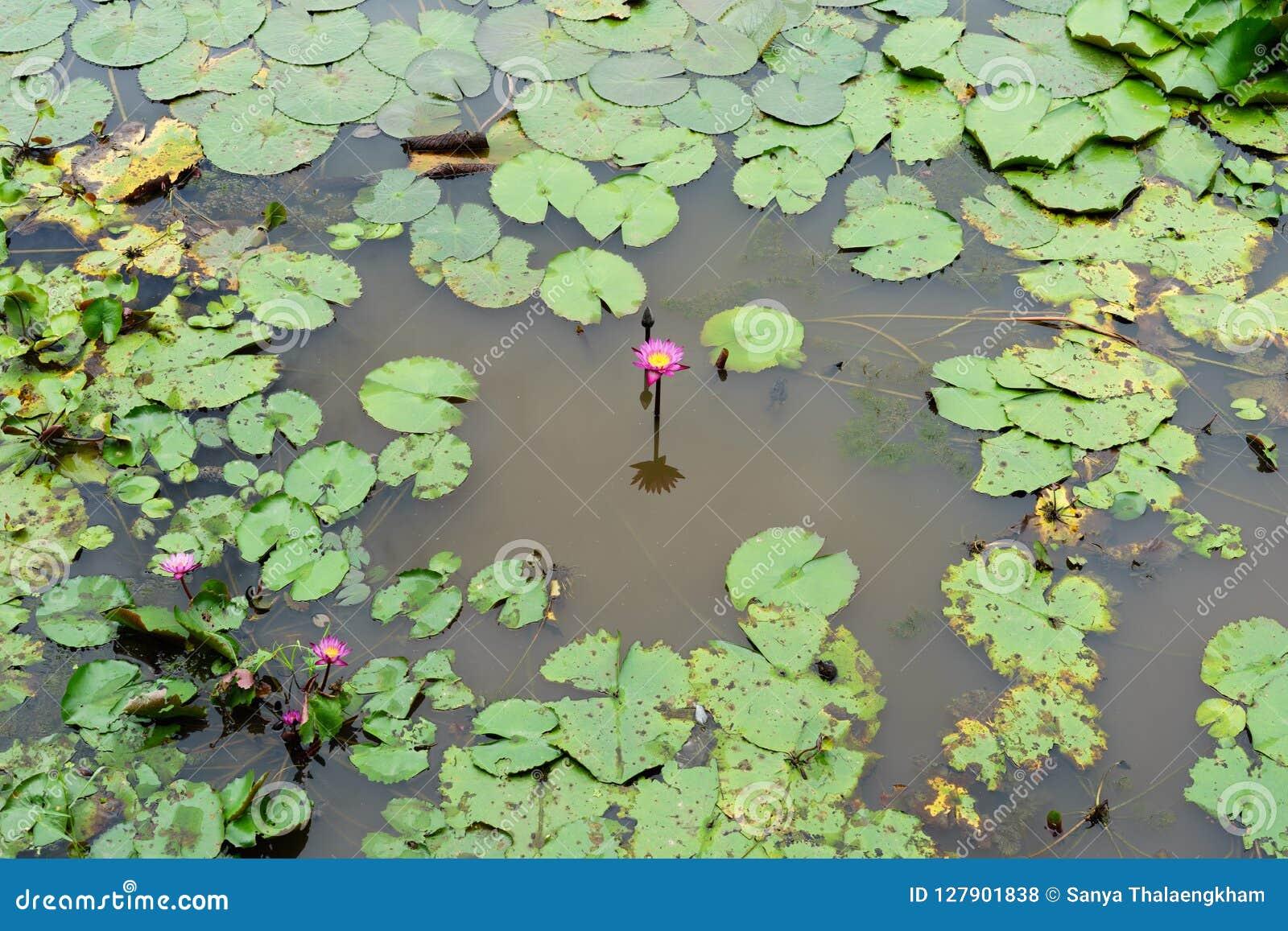 Ja jest pięknym kwiatu menchią Lotus przy Czerwonymi Lotosowymi Spławowymi Maket półdupkami