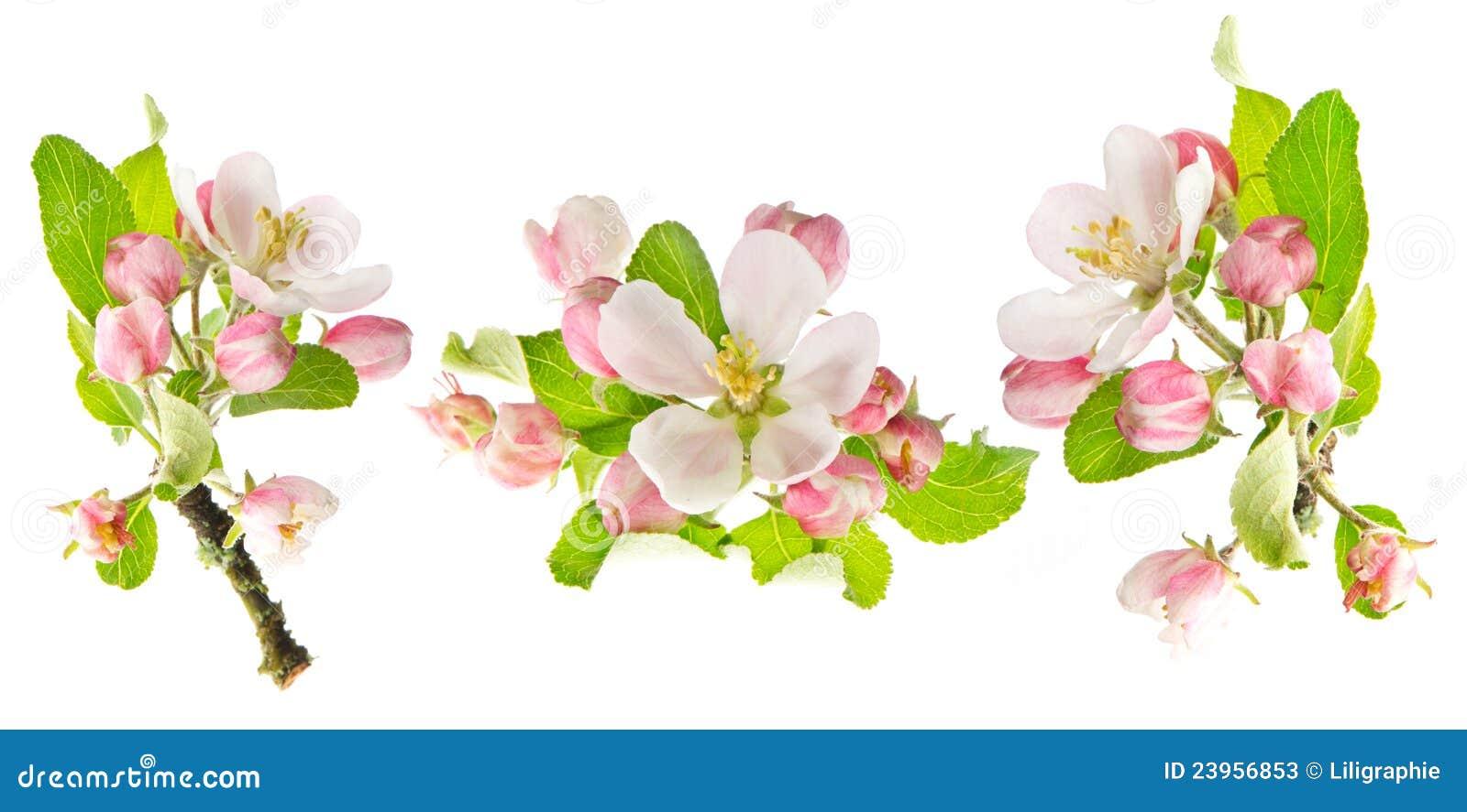 Jabłczanej okwitnięć odosobnionej wiosna drzewny biel