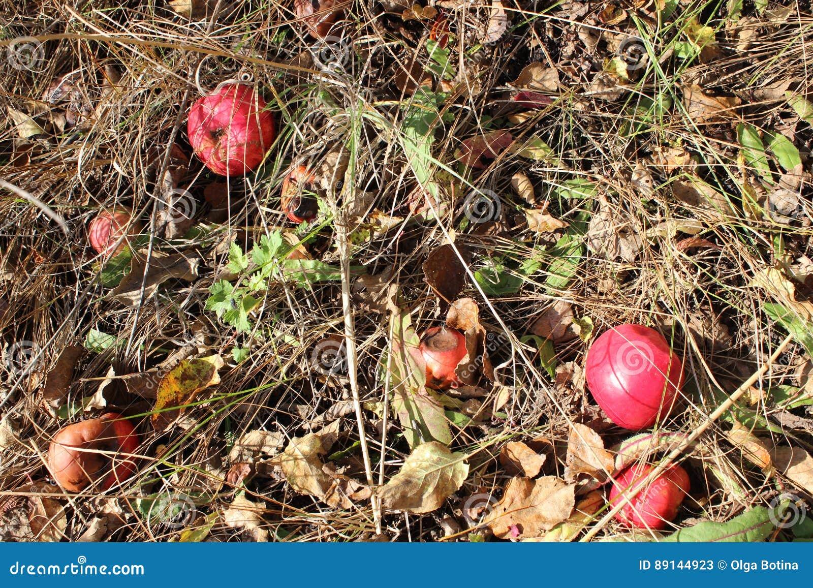 Jabłek trawy czerwień