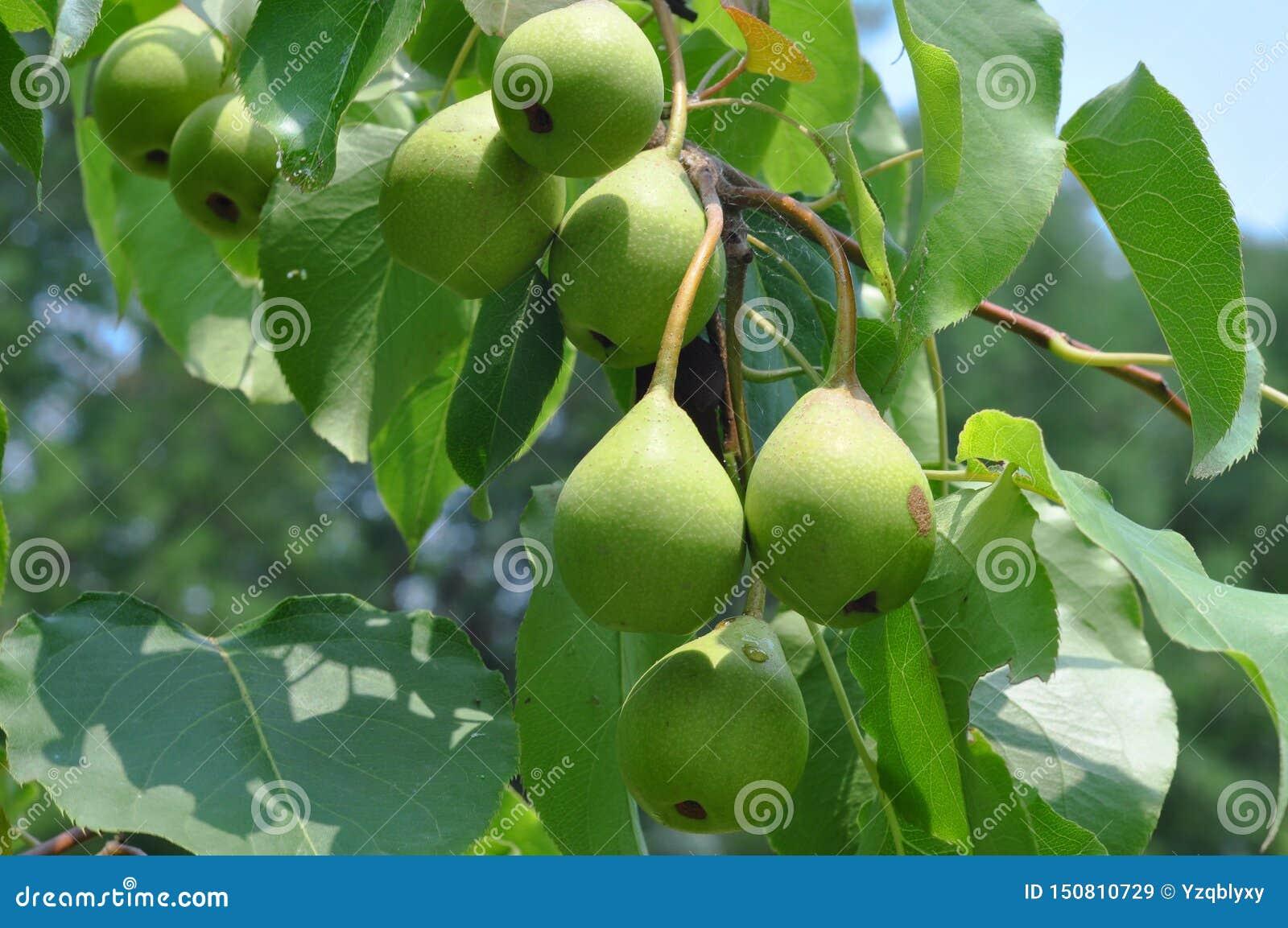 Jabłka drzewa sad